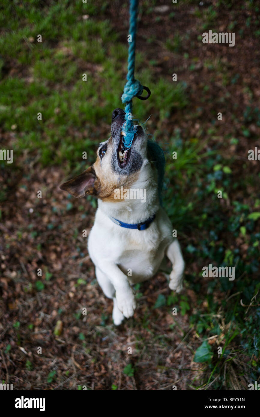 A pet Terrier dog plays harmlessly at biting frayed rope in a home garden. - Stock Image