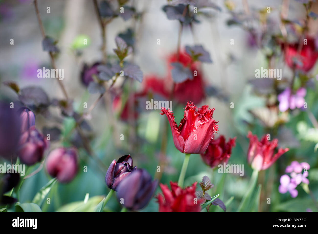 purple red black dark tulips - Stock Image