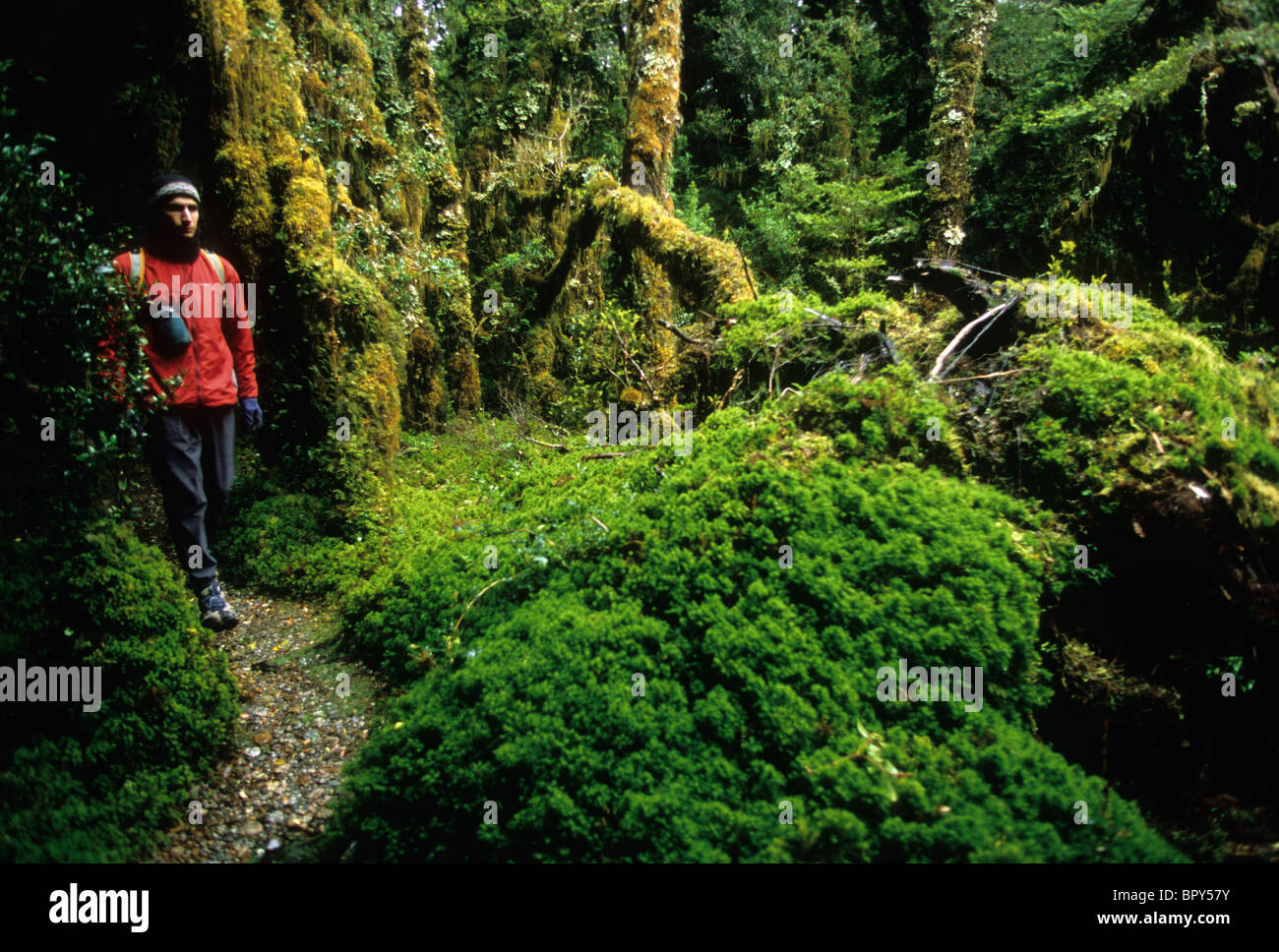 A man hikes past moss covered trees in the the rainforest of Queulat National Park, Chile - Stock Image