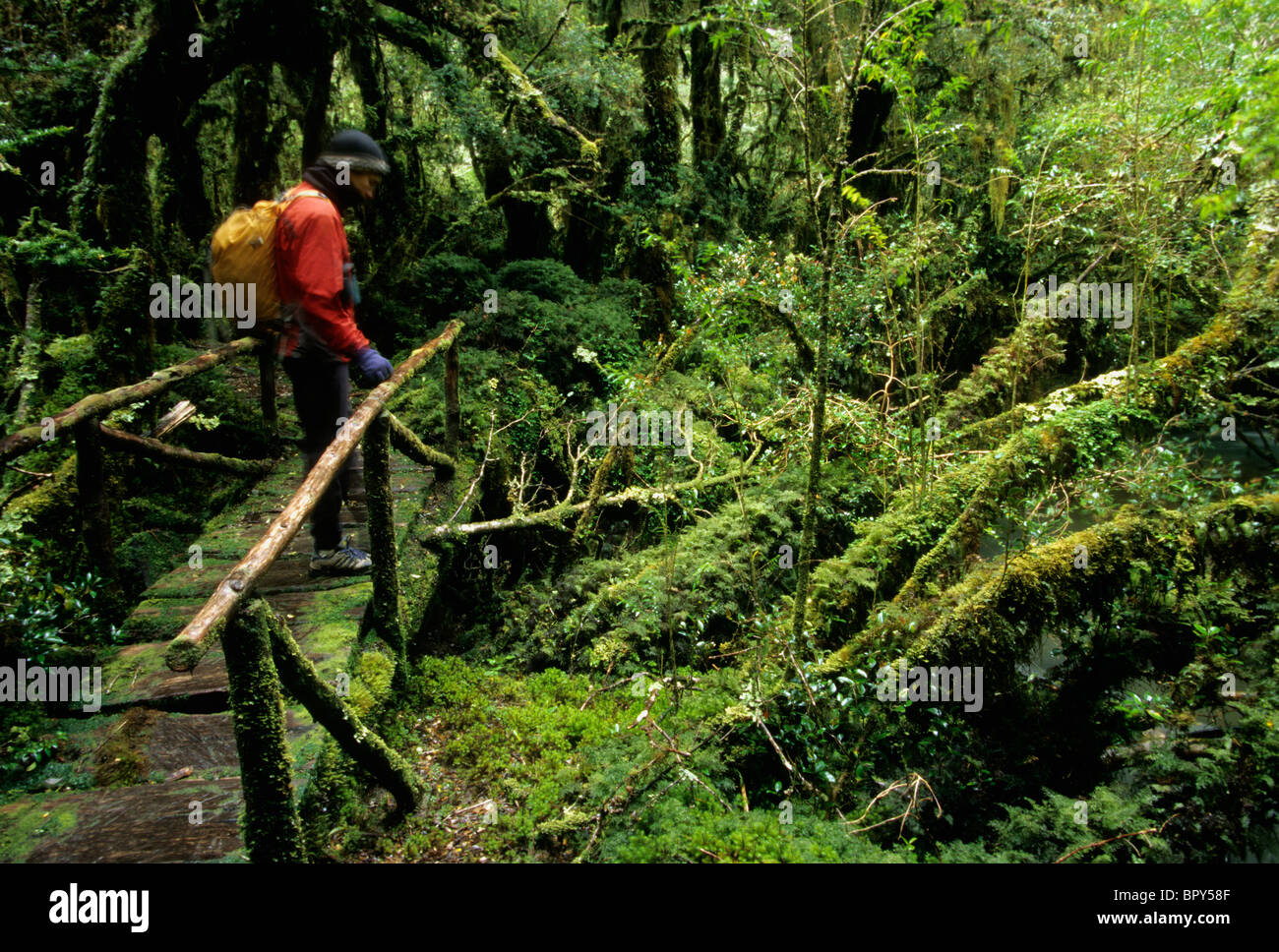 A man hikes across bridge in the temperate rainforest of Queulat National Park, Chile - Stock Image