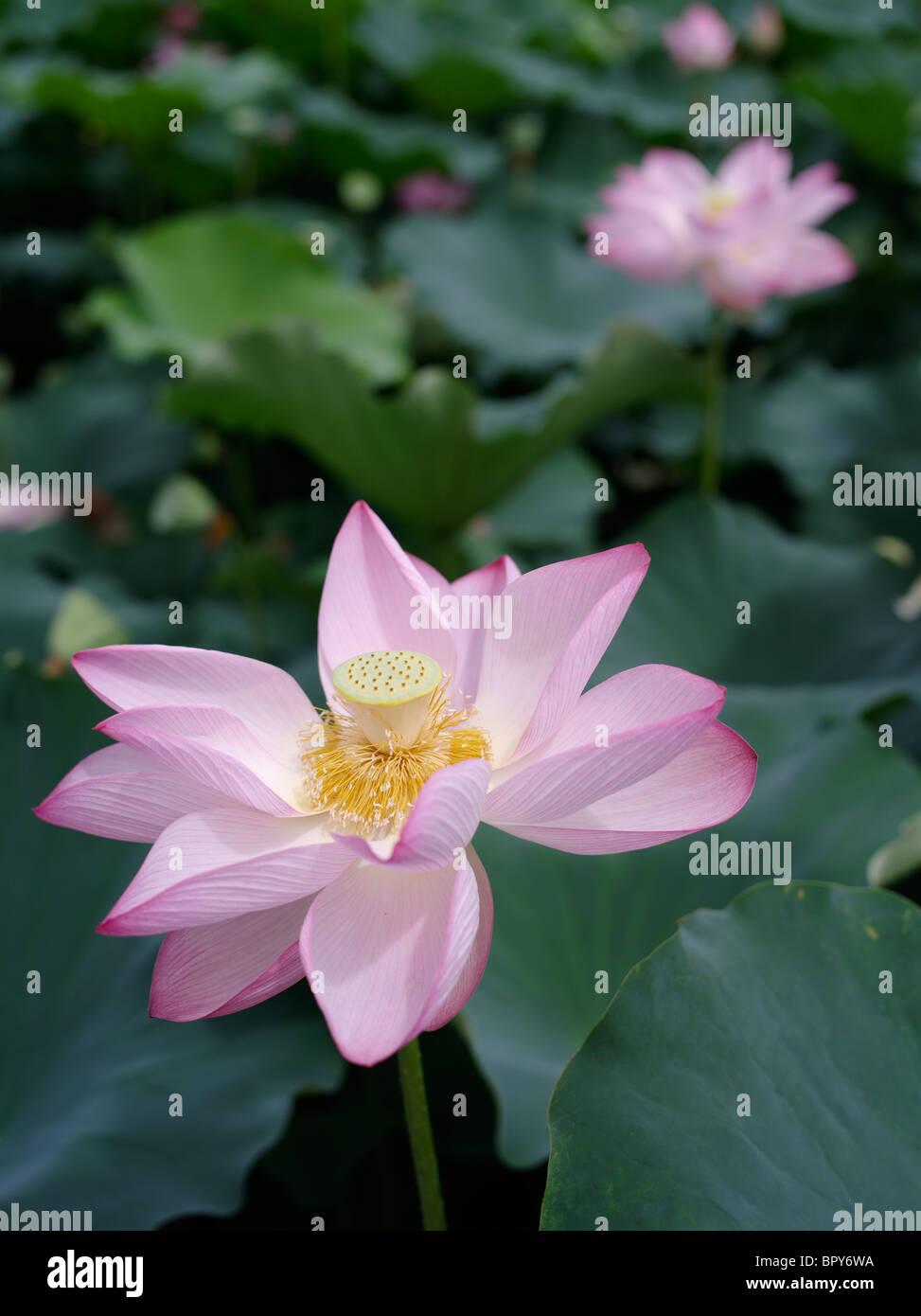 Indian lotus sacred stock photos indian lotus sacred stock images lotus flowers in the moat of akita castle akita city japan stock izmirmasajfo