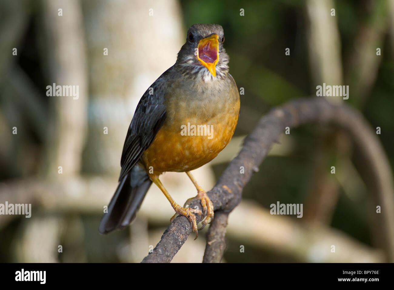 Olive Thrush Singing - Stock Image
