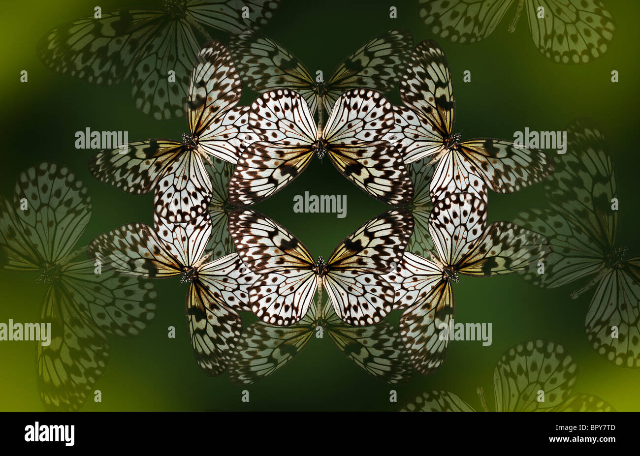 Tree nymph butterfly making a beautiful kaleidoscope like pattern on a deep forest green background. - Stock Image