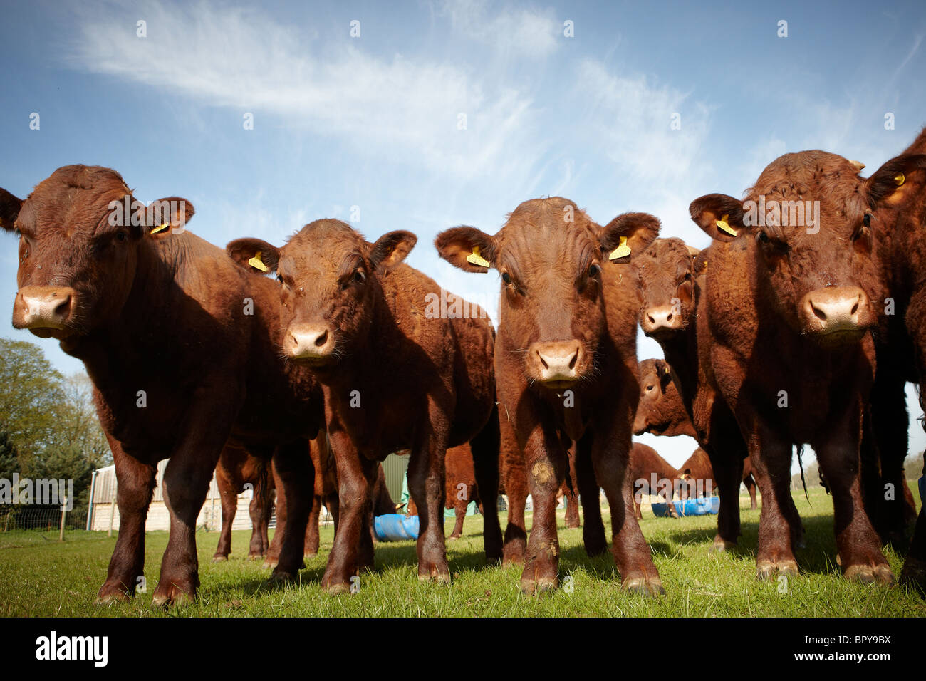 calves young cattle - Stock Image