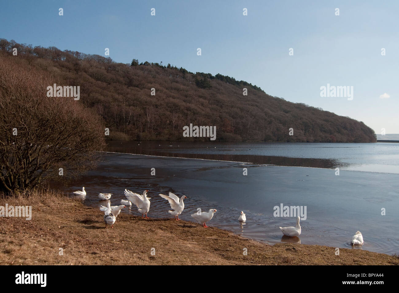 White geese sunbathe along Tunstall Reservoir in County Durham. - Stock Image