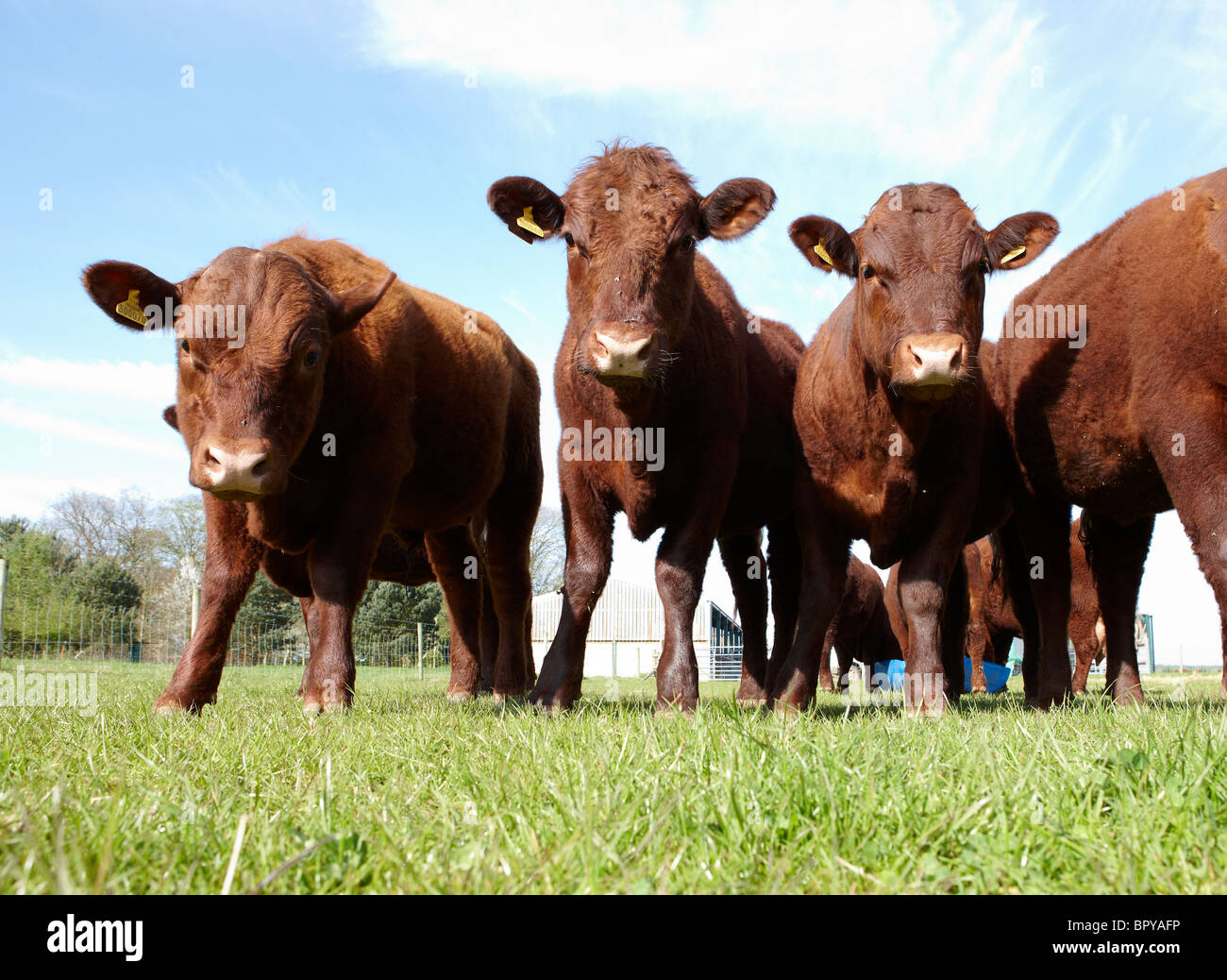 Ruby red Devon cattle - Stock Image