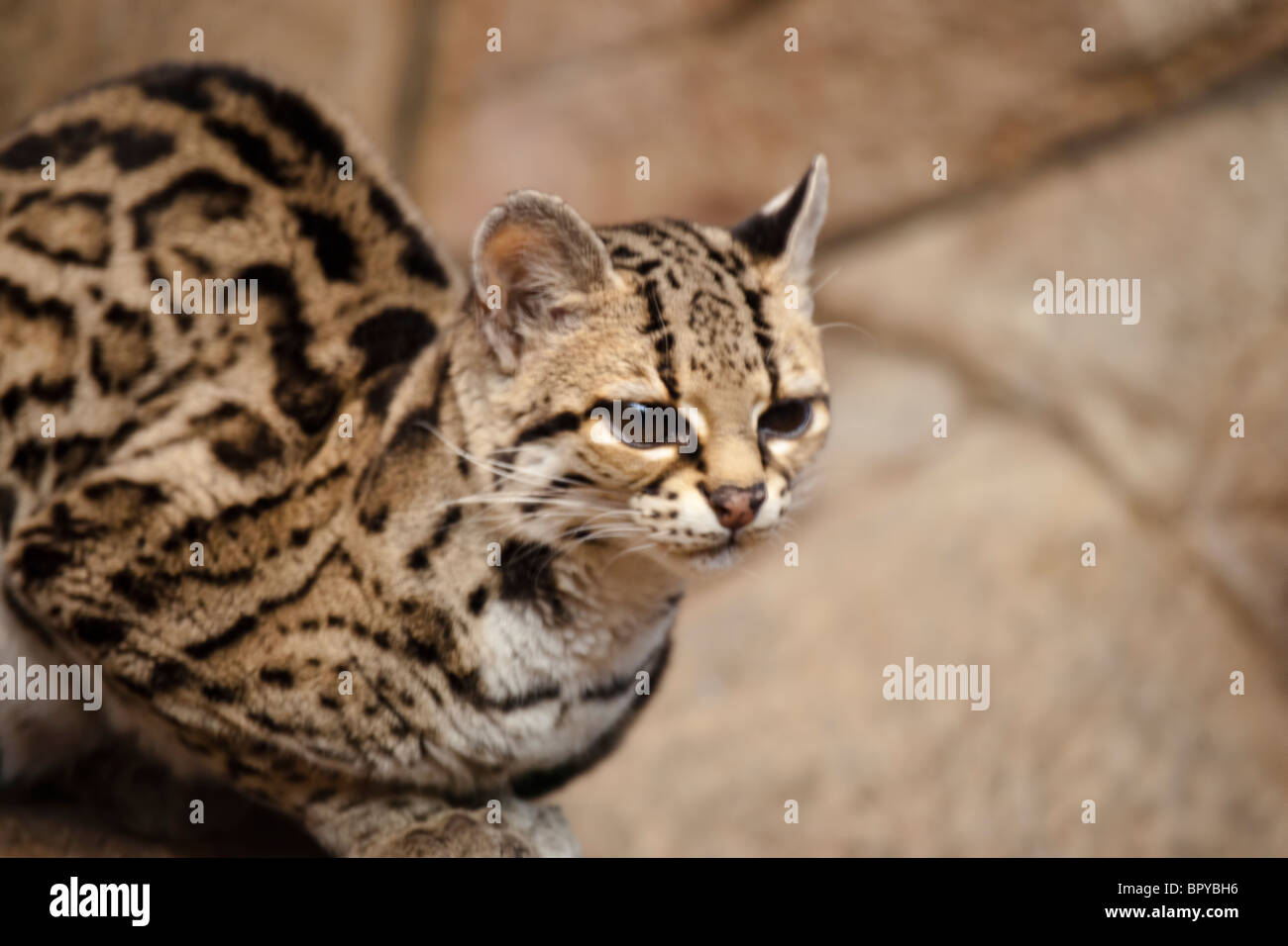 Geoffroy (cat): photo and description 82