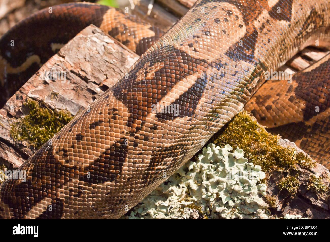 Boa Constrictor Imperator Stock Photos & Boa Constrictor