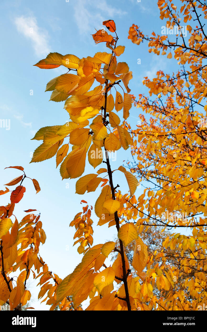 Brightly coloured autumn leaves against a blue sky - Stock Image