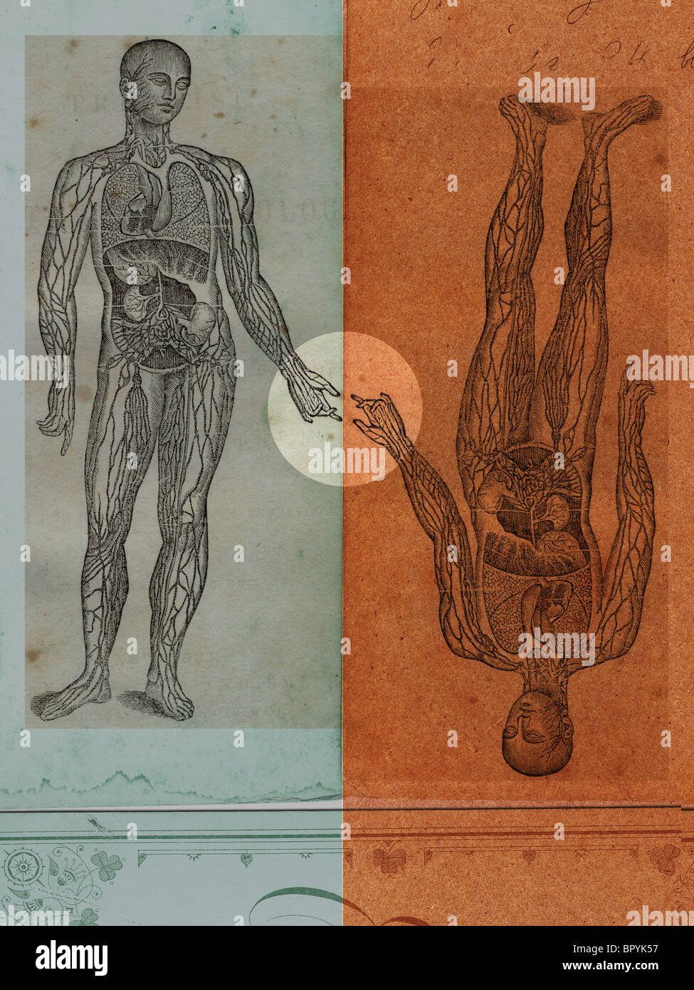 Medical illustrations of a mans body showing circulatory system and internal organs - Stock Image