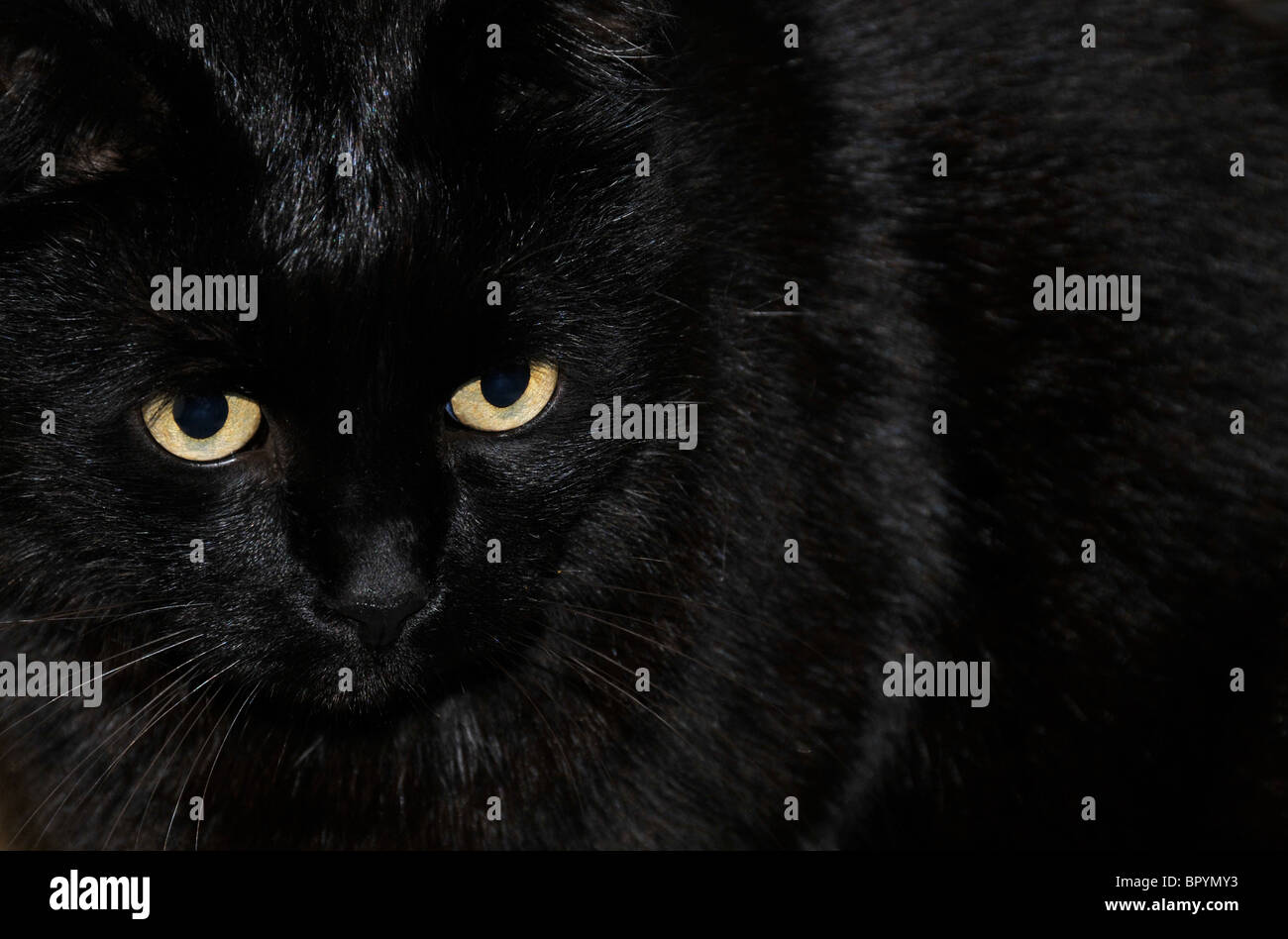 black cat with yellow eyes - Stock Image