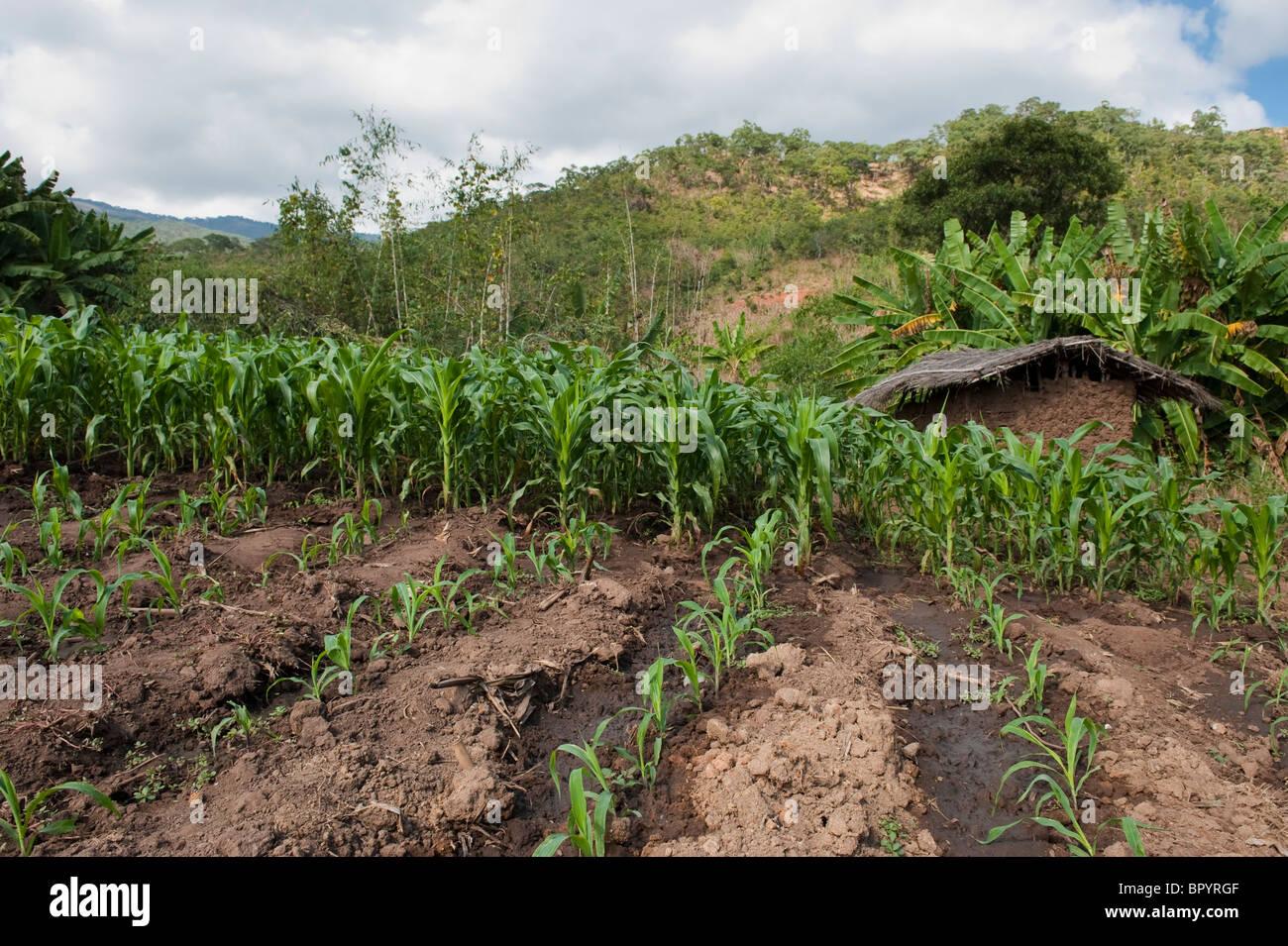 Subsistence farming, Kandewe village, Rumphi region, Malawi - Stock Image
