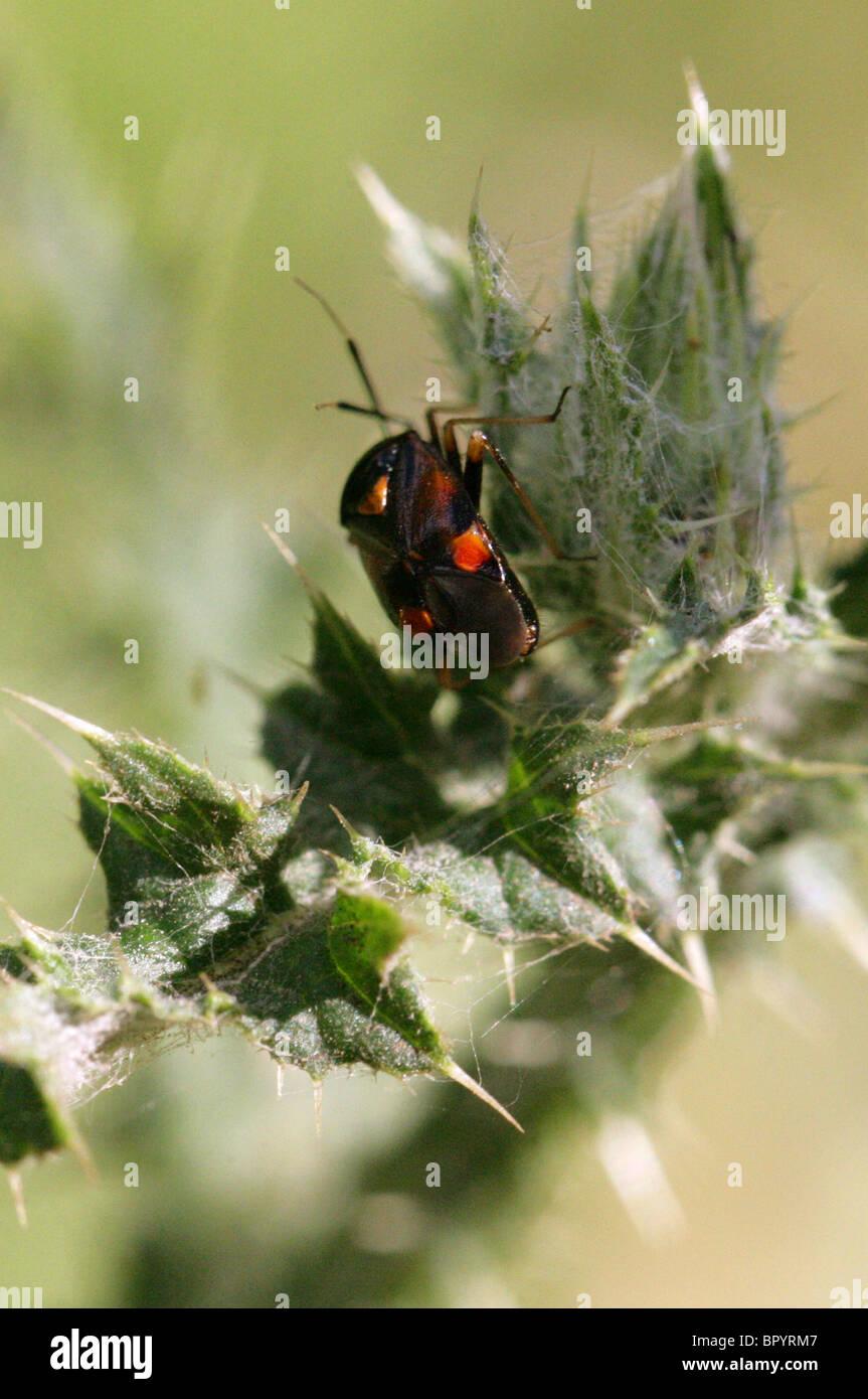 Capsid or Myrid Bug, Capsodes gothicus, Miridae, Heteroptera, Hemiptera - Stock Image