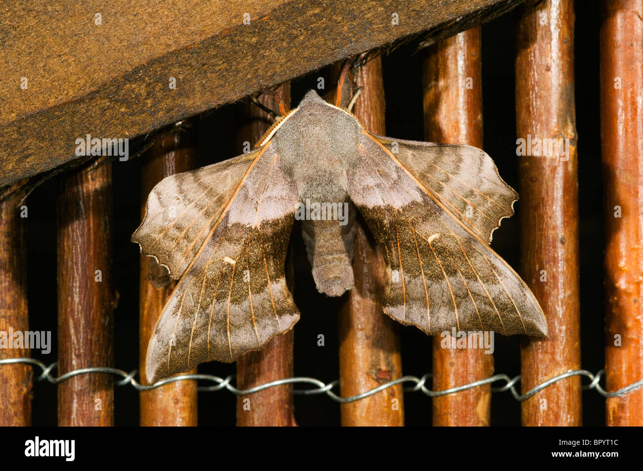 Poplar Hawk Moth, Laothoe populi, on a willow screen in a domestic garden.  Manchester, England, UK - Stock Image