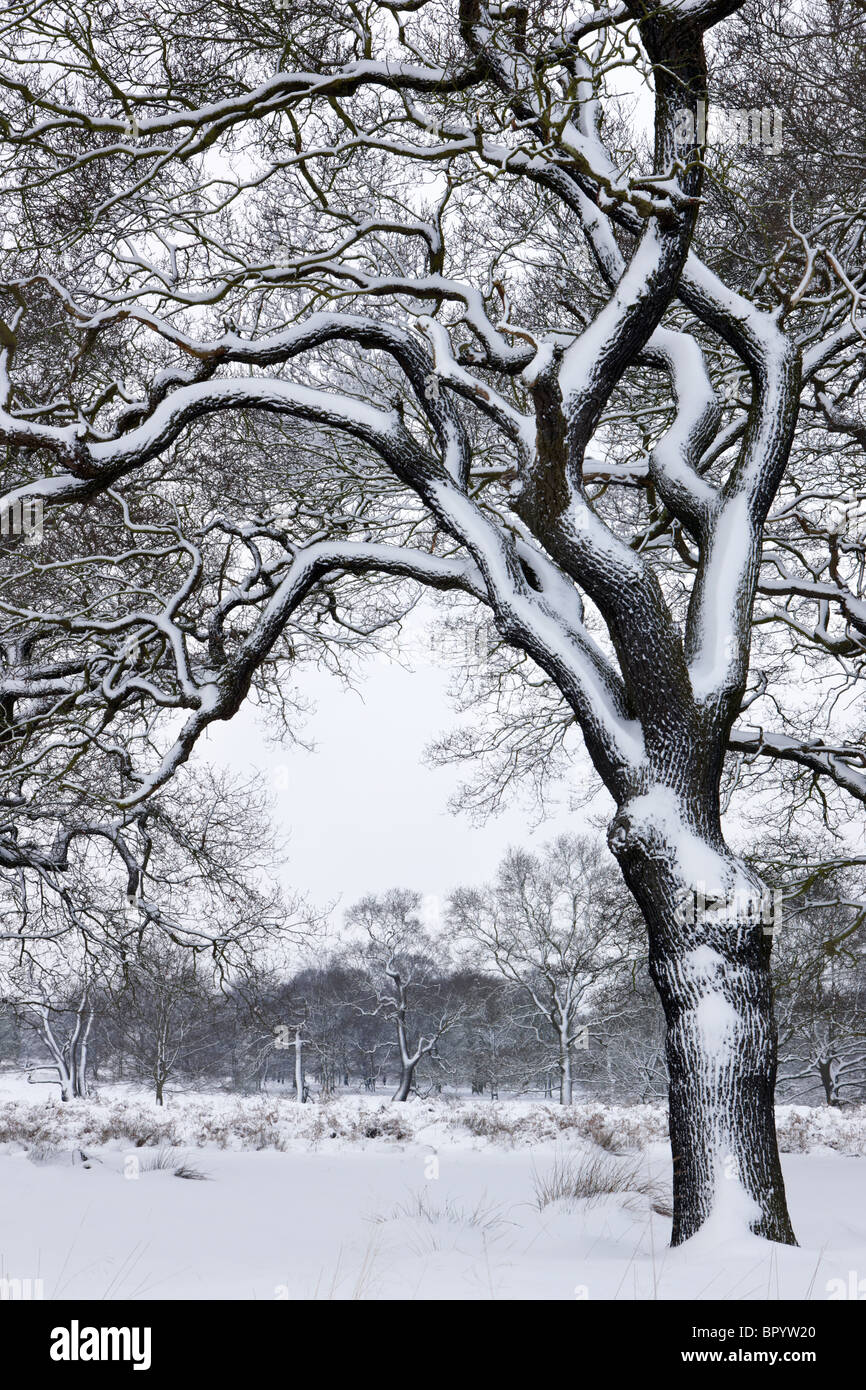 A covering of snow fall coating the branches and trunk of an old oak tree - Stock Image