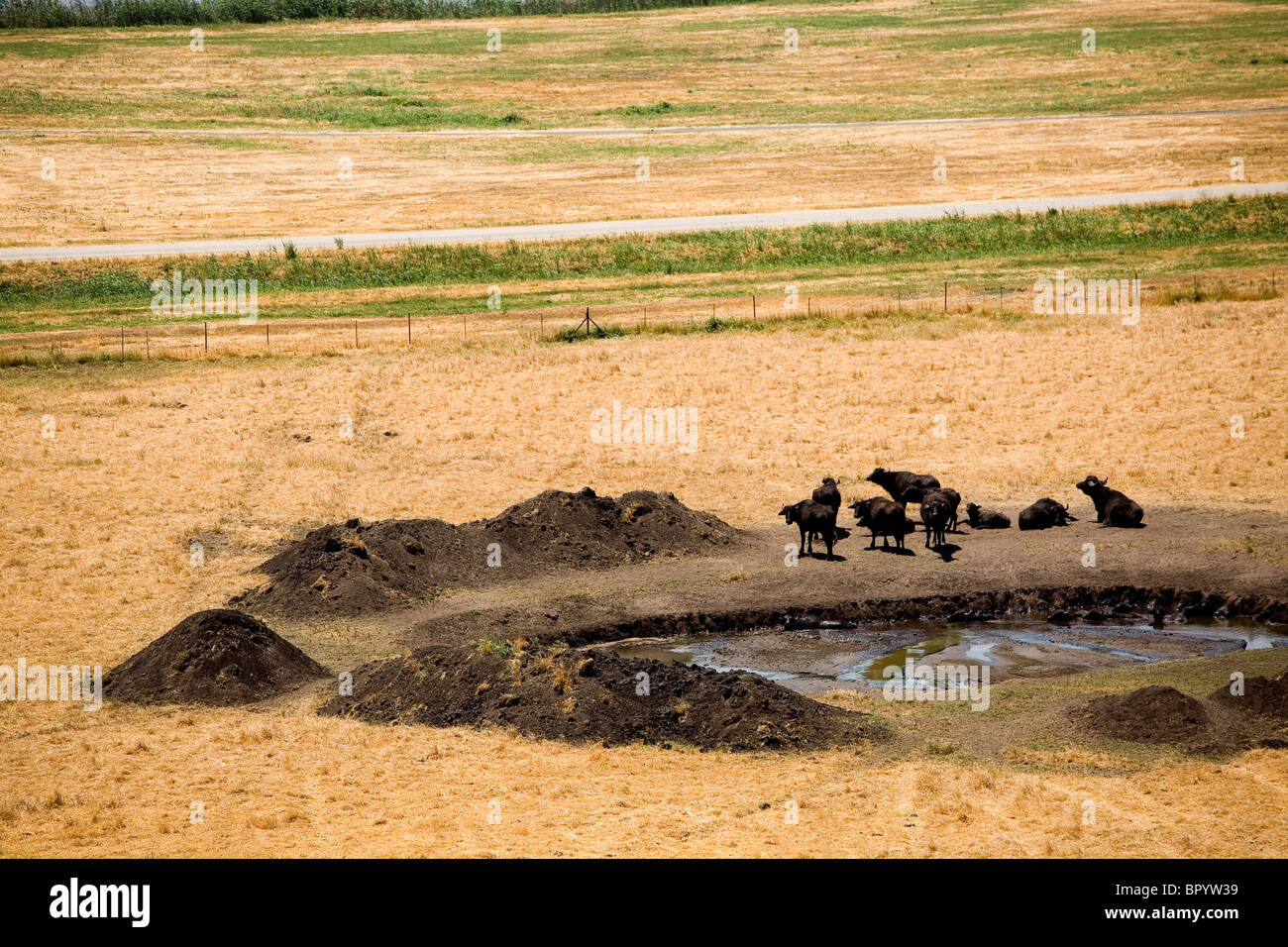 Aerial photograph of a water buffalo in the reservation of Hachula in the Upper Galilee - Stock Image