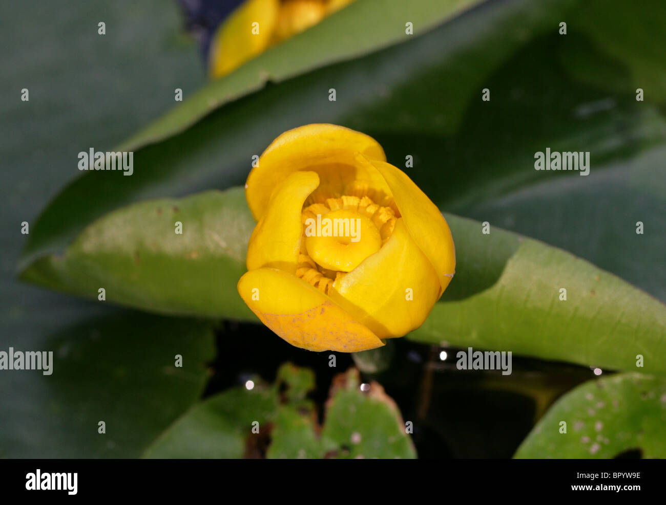Cow lily stock photos cow lily stock images alamy yellow water lily nuphar lutea nymphaeaceae aka spatterdock cow lily izmirmasajfo