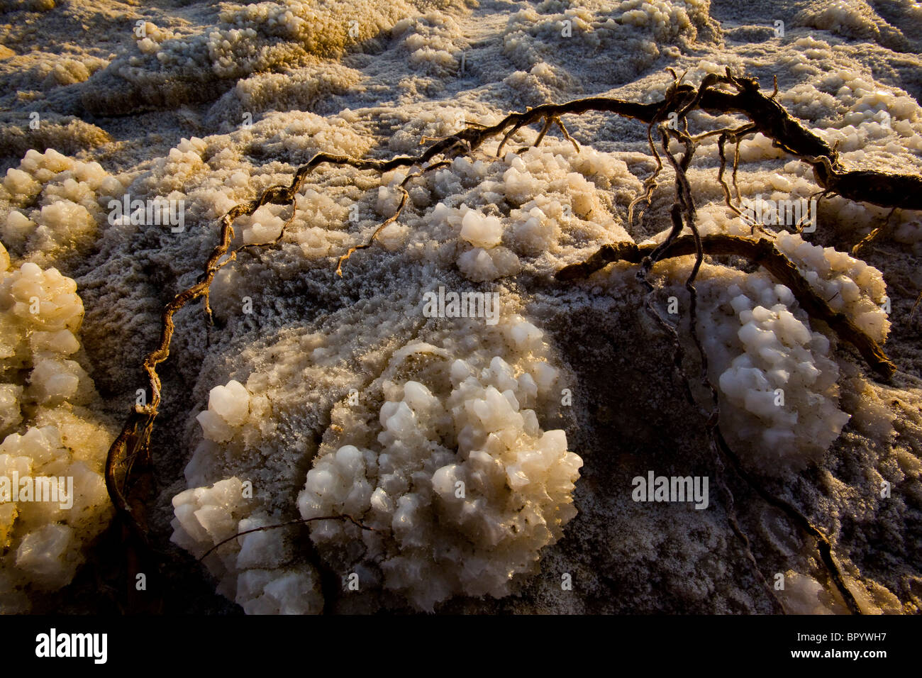 Closeup on a root covered with salt crystals in the Dead Sea - Stock Image