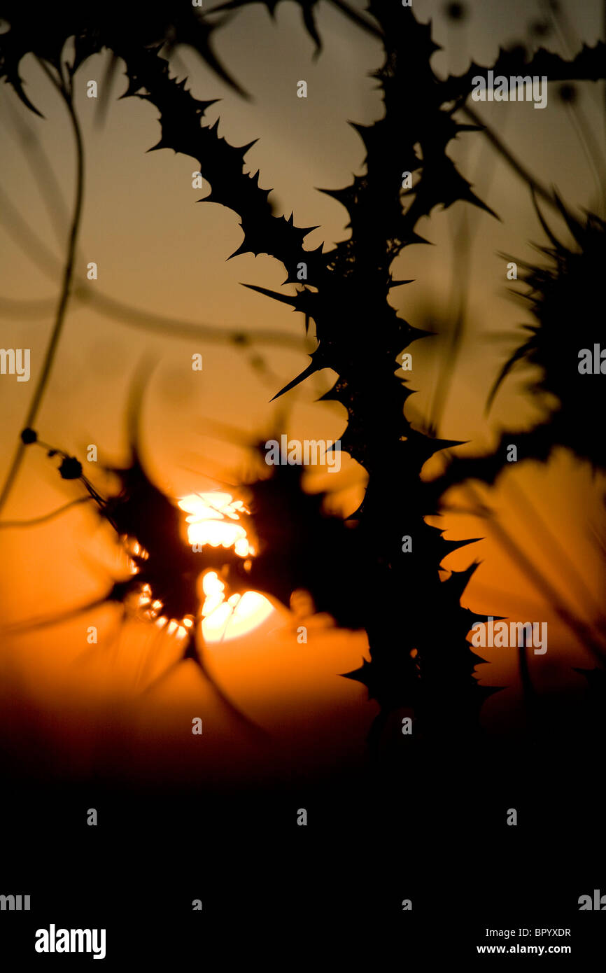 Photograph of the thorn bushes in the lower Galilee at dawn - Stock Image
