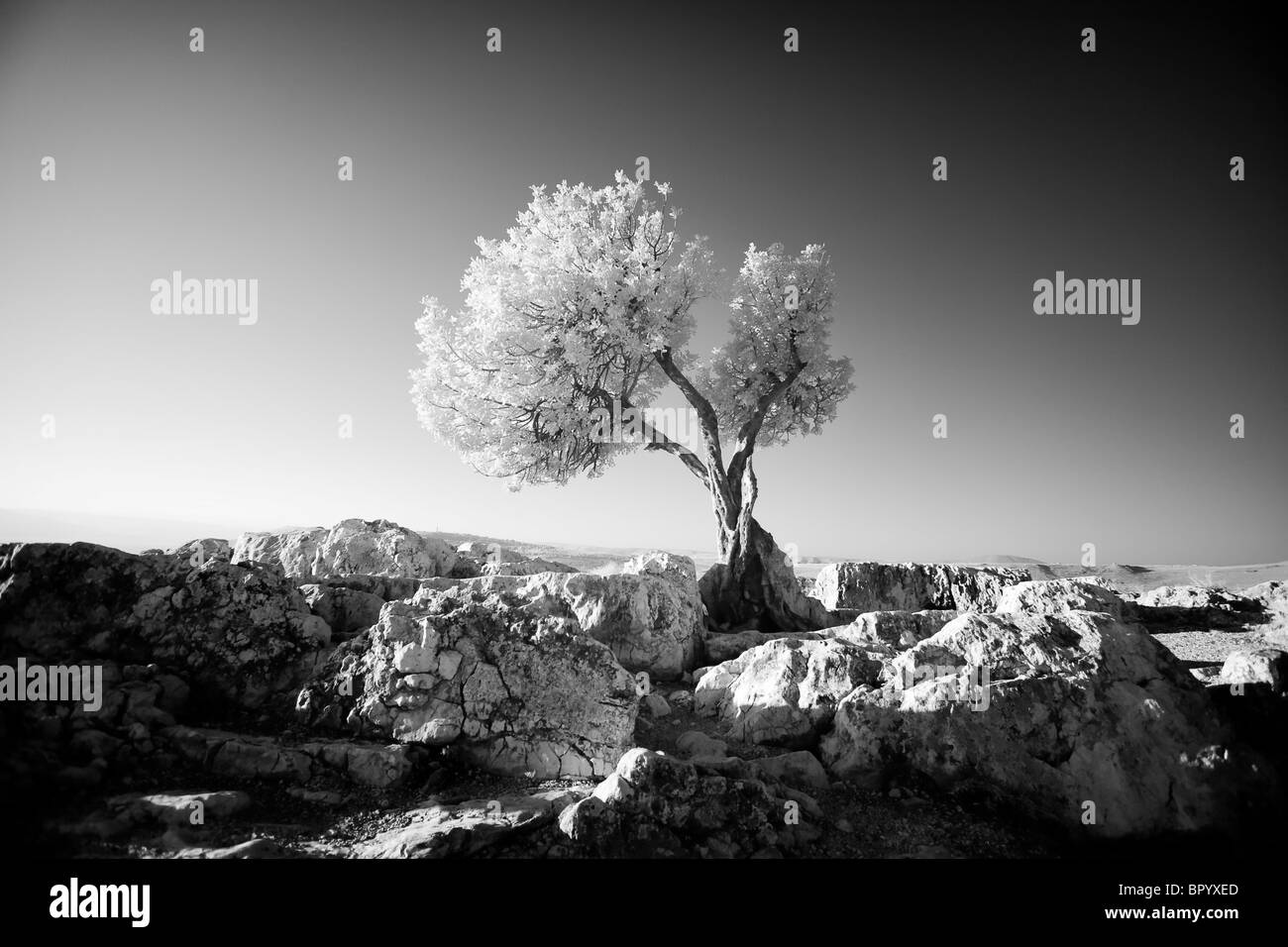 Black & white photograph of tree on the Arbel mountain - Stock Image