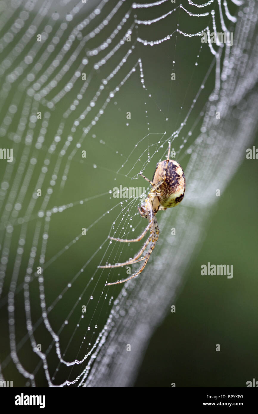 Meta segmentata spider in the centre of its web - Stock Image