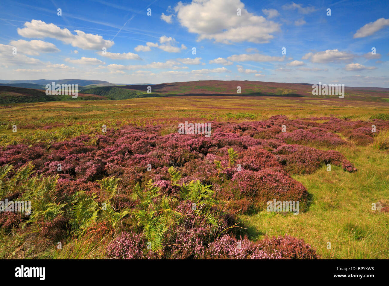 Heather on Moscar Moor and distant Derwent Edge, Derbyshire, Peak District National Park, England, UK. - Stock Image
