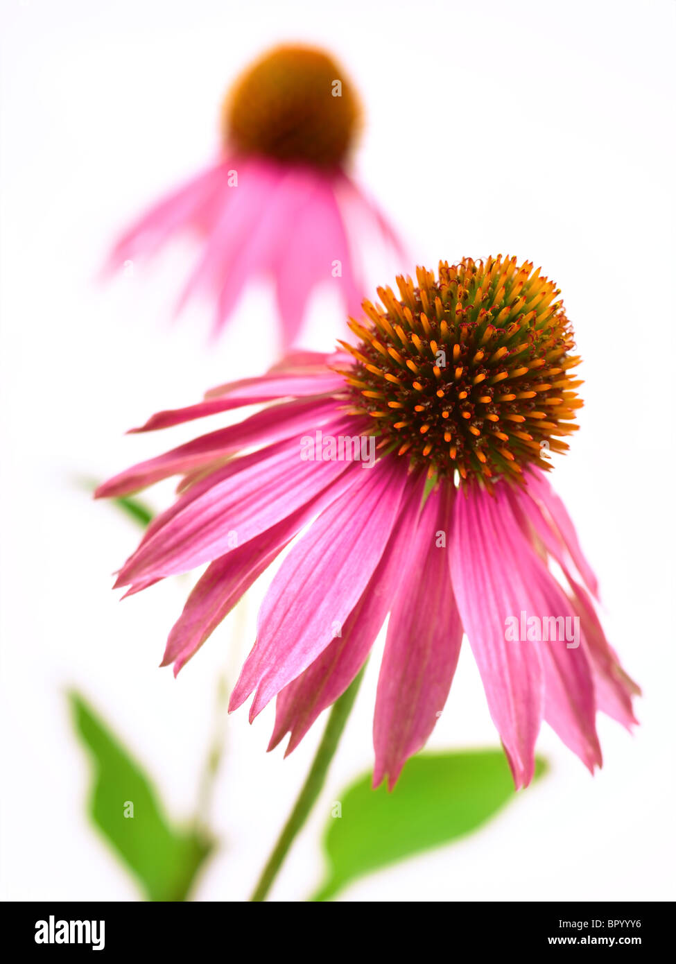 Echinacea - Stock Image