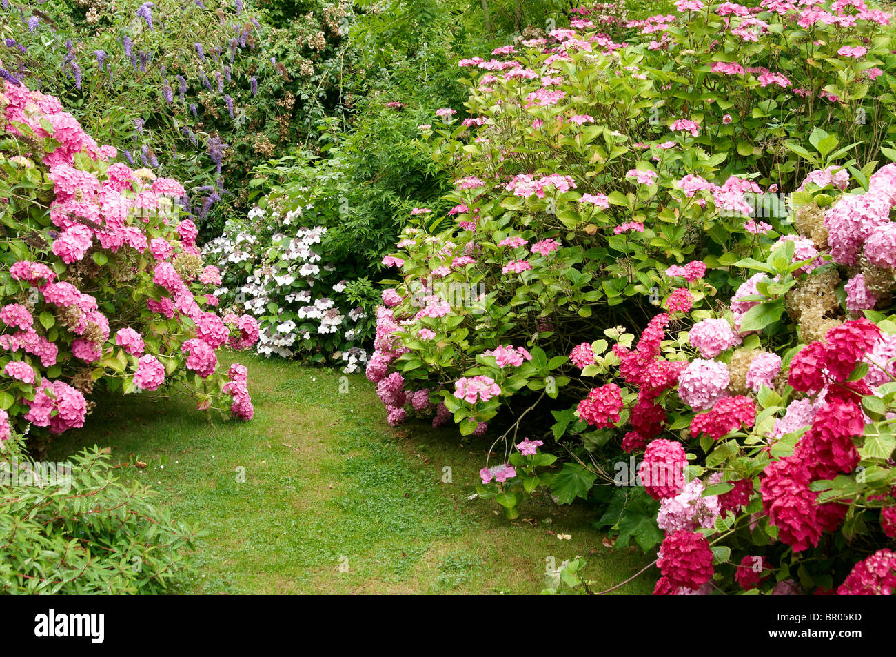 Hydrangea (Hortensia) Planted As A Large Woodland Border In An English  Garden At East