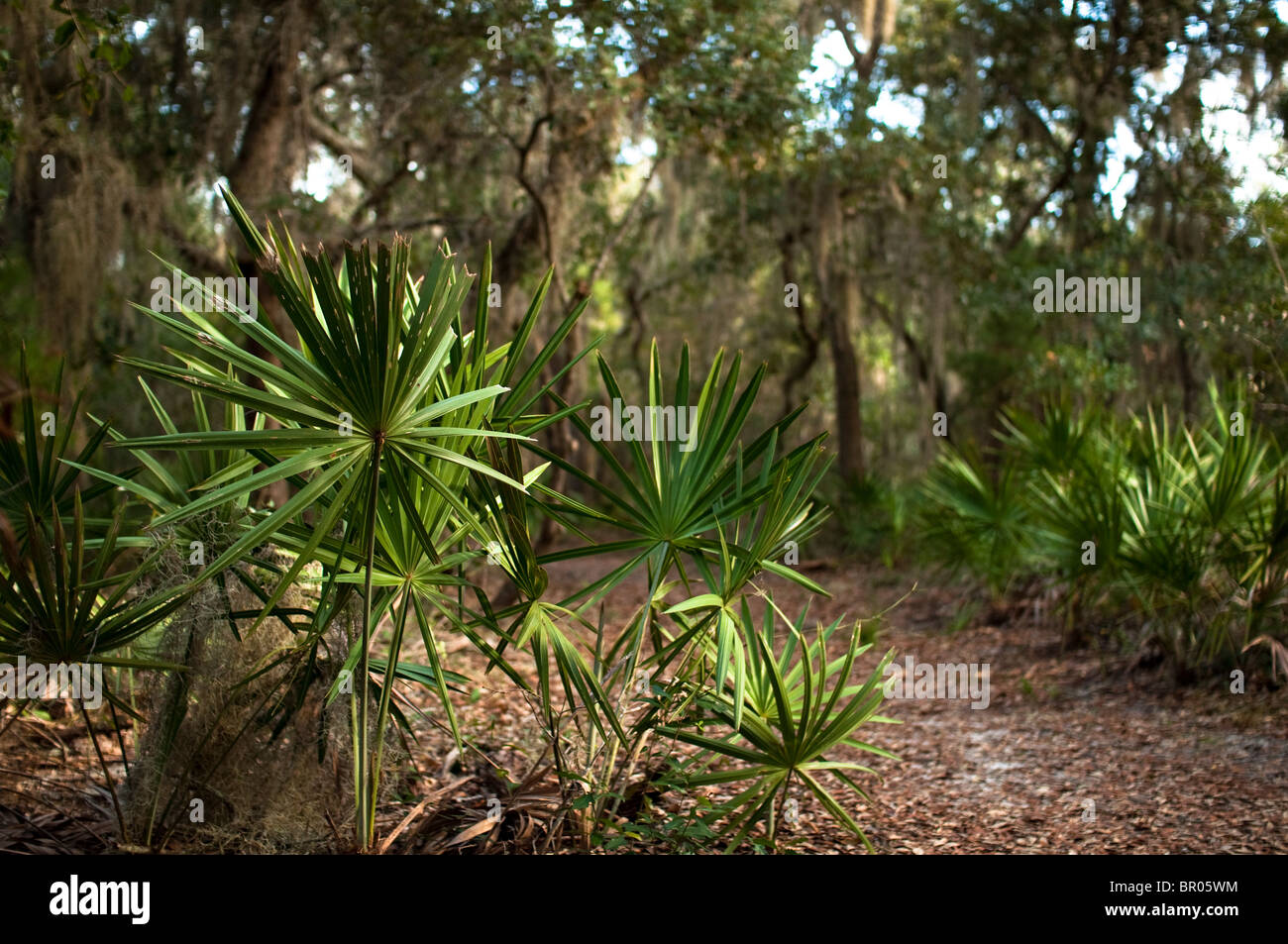 Palmettos line a path at Camp Helen, a Florida State Park on the Florida panhandle. Stock Photo