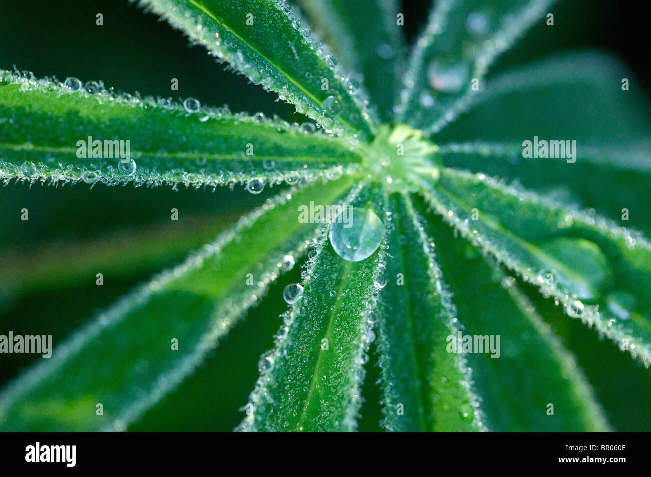 dew drop on green leaf - Stock Image