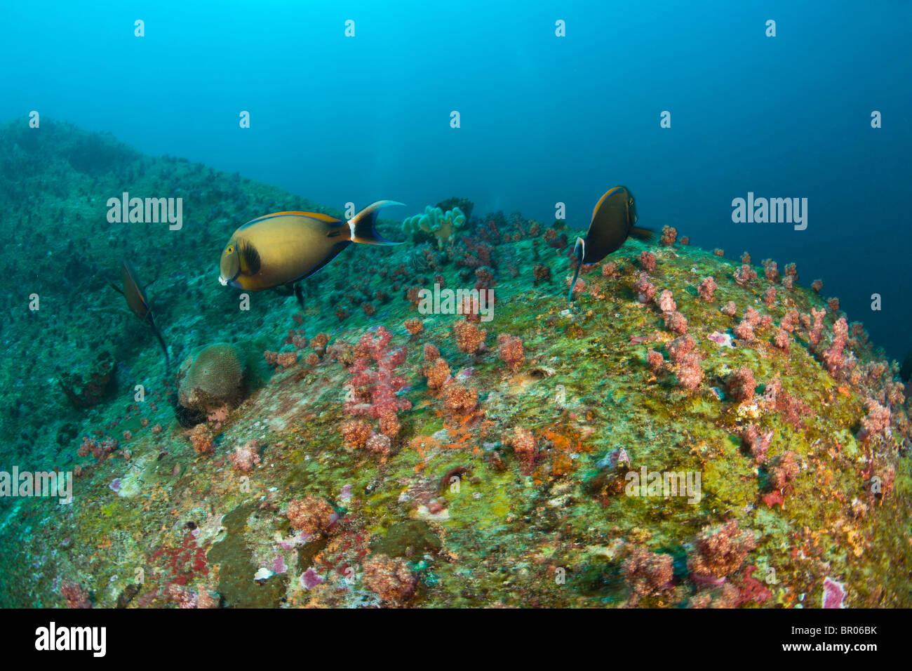 Scuba diving at Similan Islands Underwater Park, Thailand, SE Asia - Stock Image