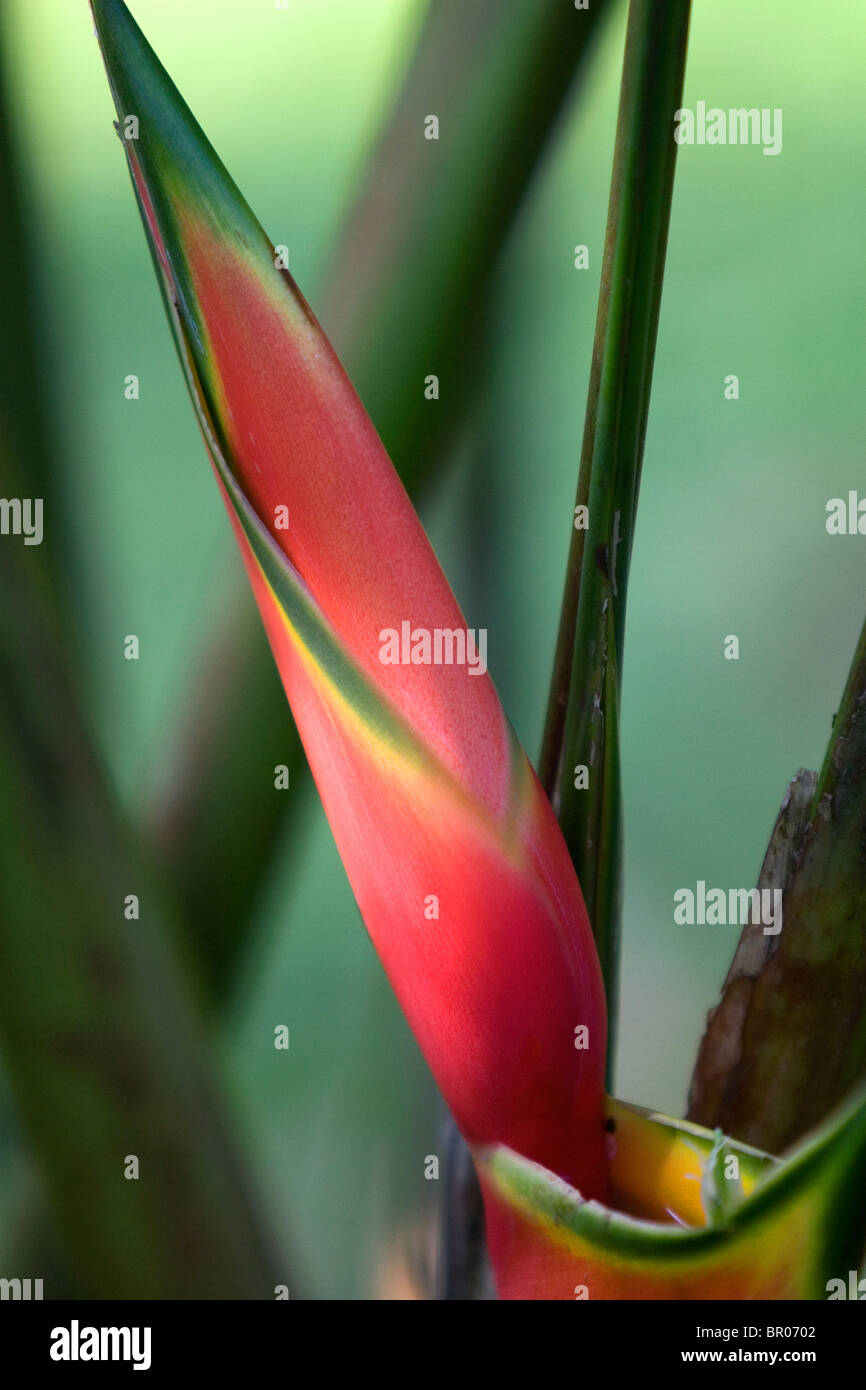 Heliconia flowering plant in the Arenal Volcano National Park near La Fortuna, San Carlos, Costa Rica. - Stock Image