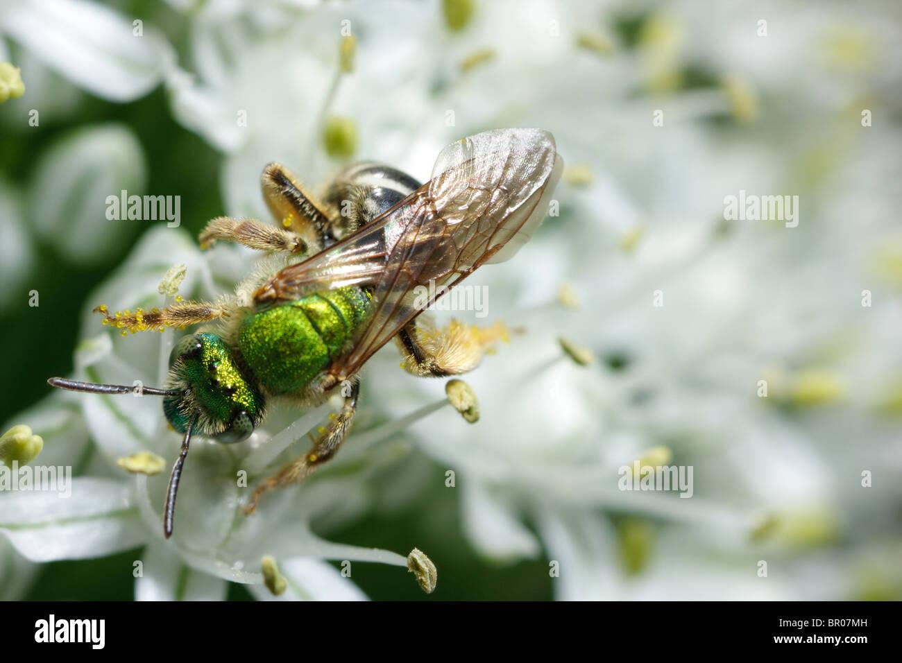 A green metallic bee (Agapostemon virescens) gathers nectar. - Stock Image