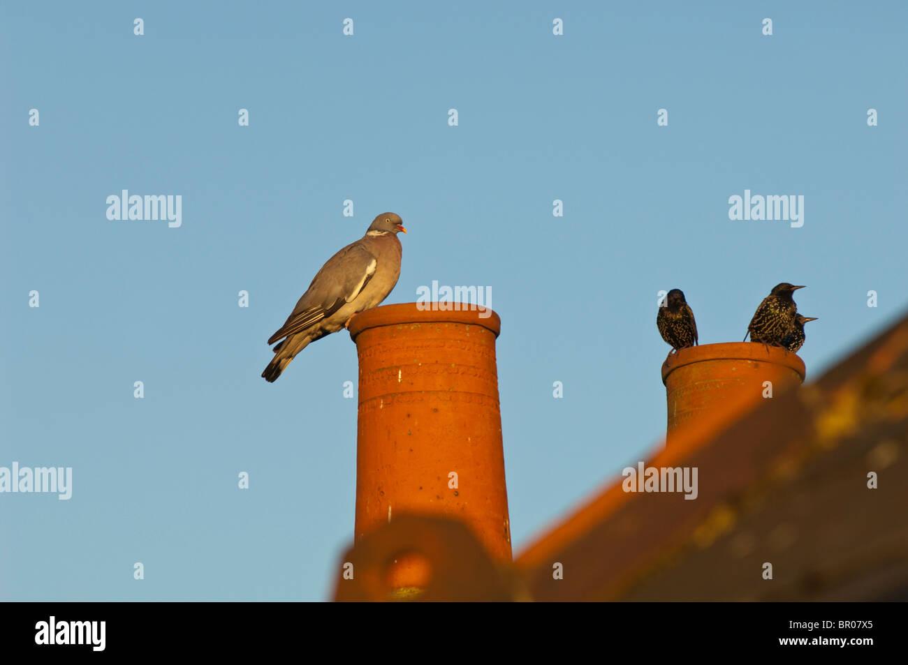 Birds on the roof, London, United Kingdom - Stock Image