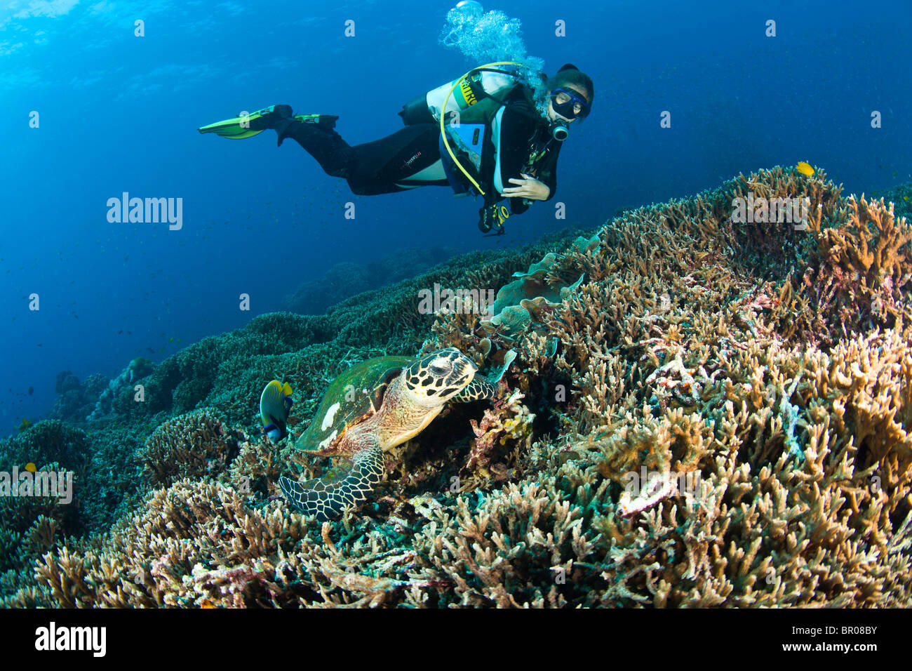 Scuba diver & hawksbill sea turtle at North Point Koh Ba-Ngu Similan National Marine Park just North of Phuket - Stock Image