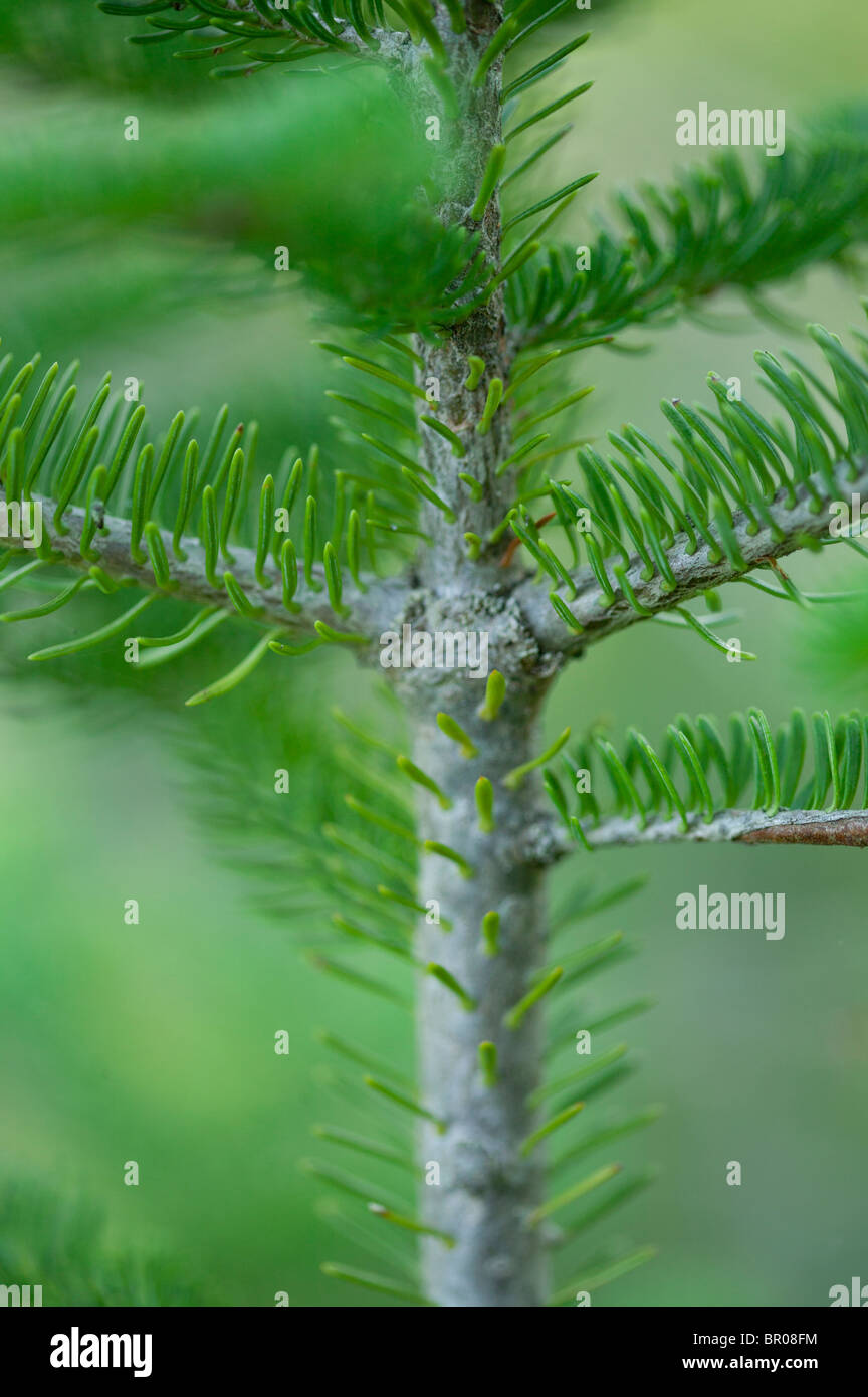 detail of green pine tree branch - Stock Image