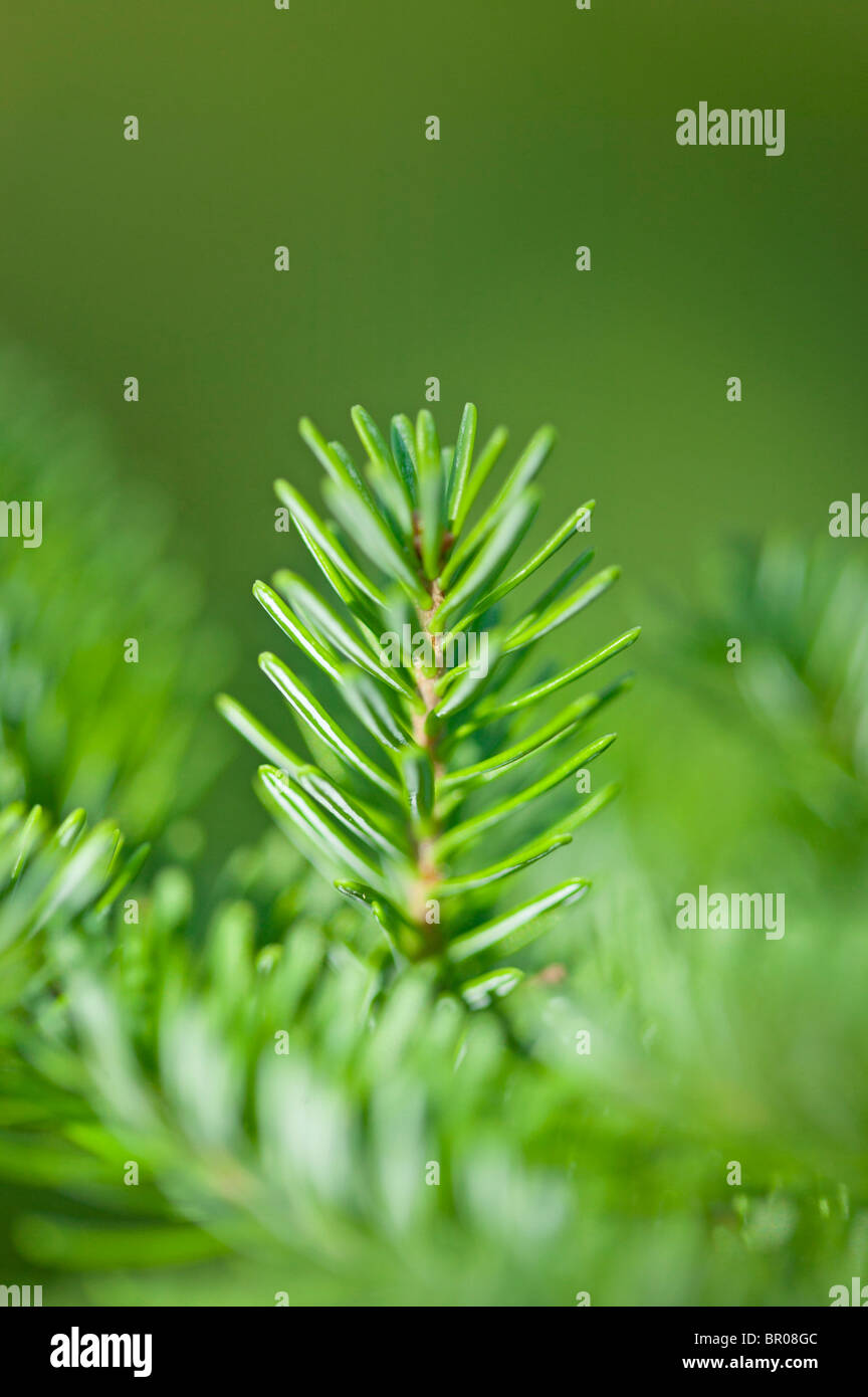 close up of pine needles - Stock Image