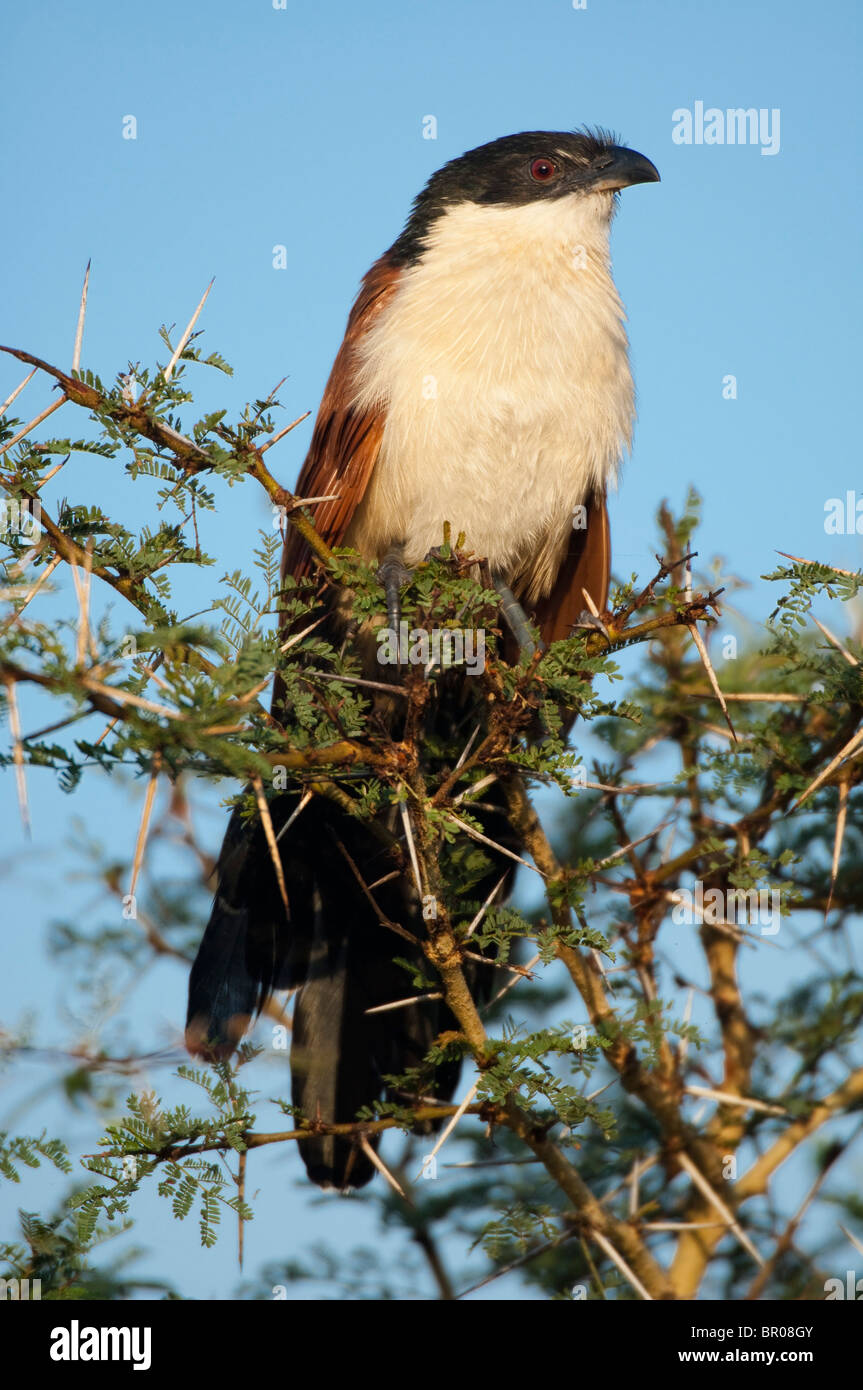 Burchell's coucal, Centropus burchelli, Nyala Park, Malawi - Stock Image