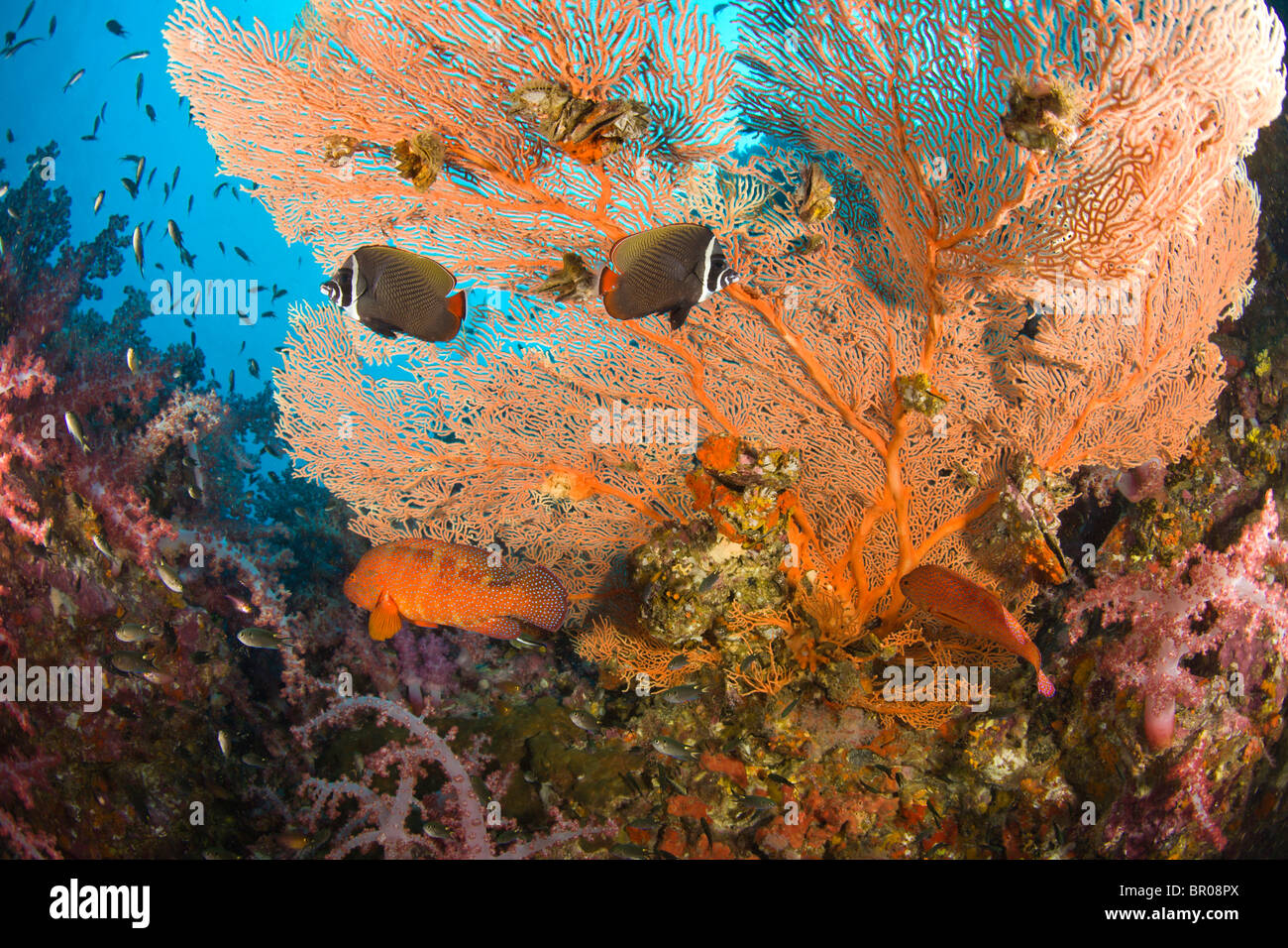 Collare Butterflyfish , Scuba diving at Richelieu Rock, Mu Koh Surin National Marine Park, just North of Similan - Stock Image