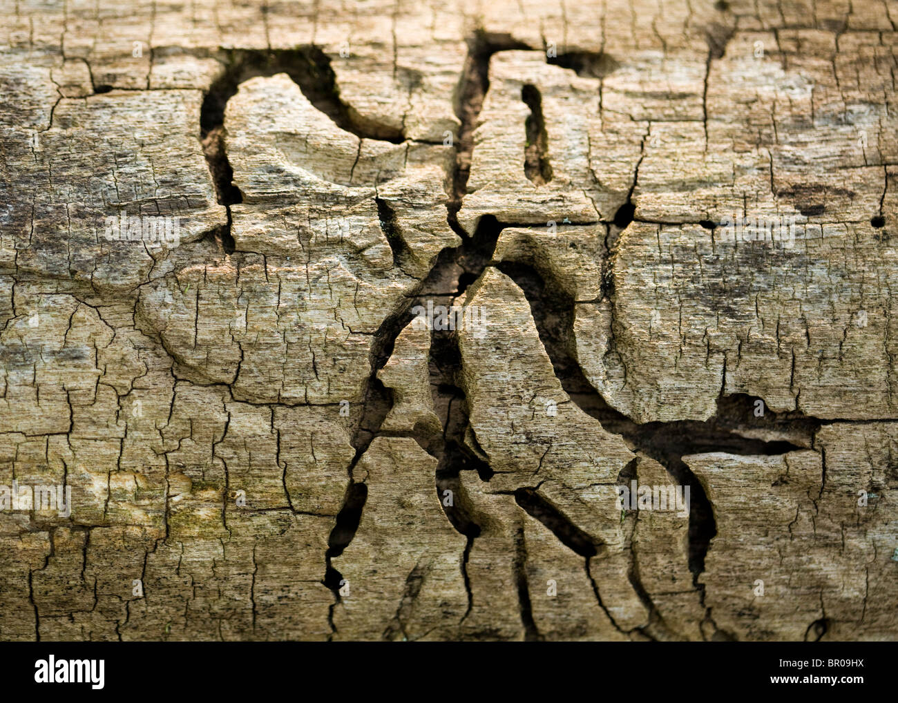 Traces of wood boring bugs - Stock Image
