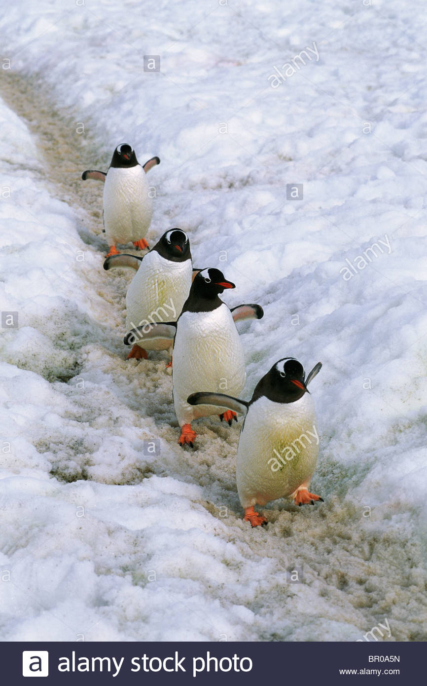 A group of Gentoo penguins use a path - Stock Image