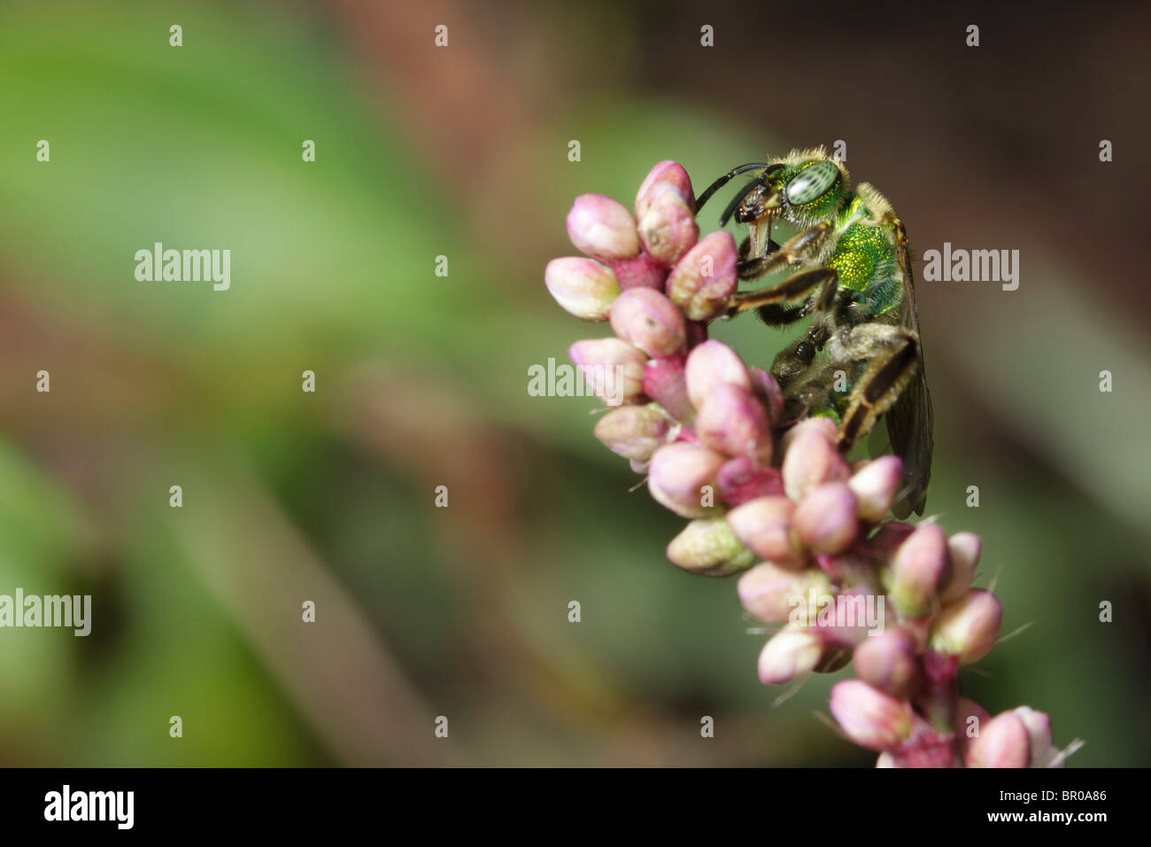 A green metallic bee (Agapostemon) preens on the tip of a flower. - Stock Image