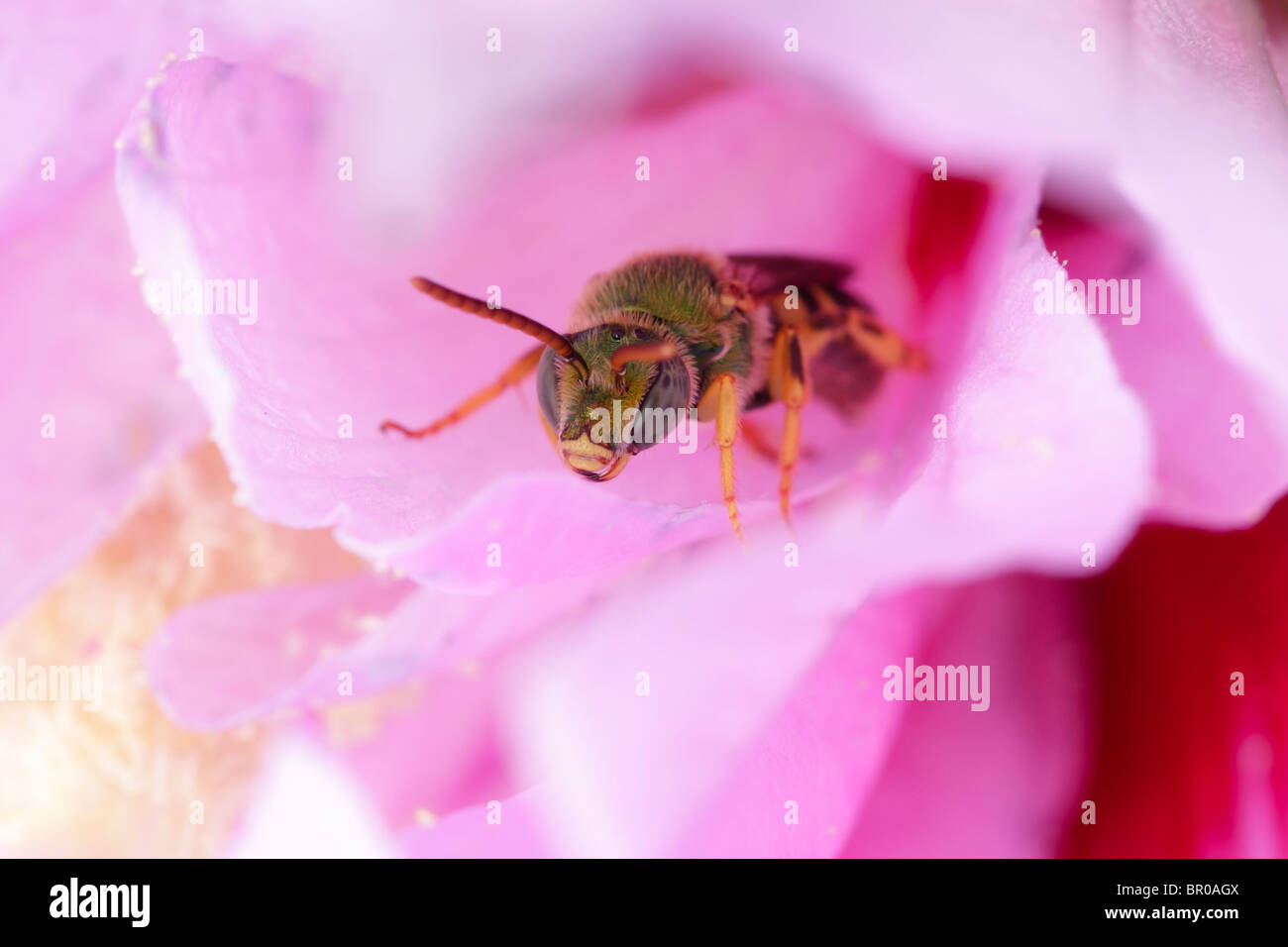 A green metallic bee (Agapostemon) rests inside a hollyhock flower. - Stock Image