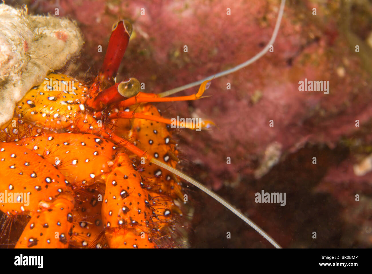 Hermit Crab (Aniculus aniculus), Scuba diving at night at Koh Bon Bay, Similan Islands Underwater Park, Thailand, - Stock Image