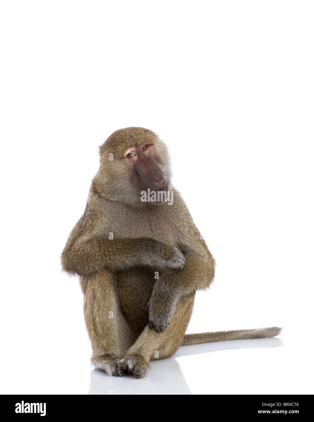 In studio portrait of a Baboon Stock Photo