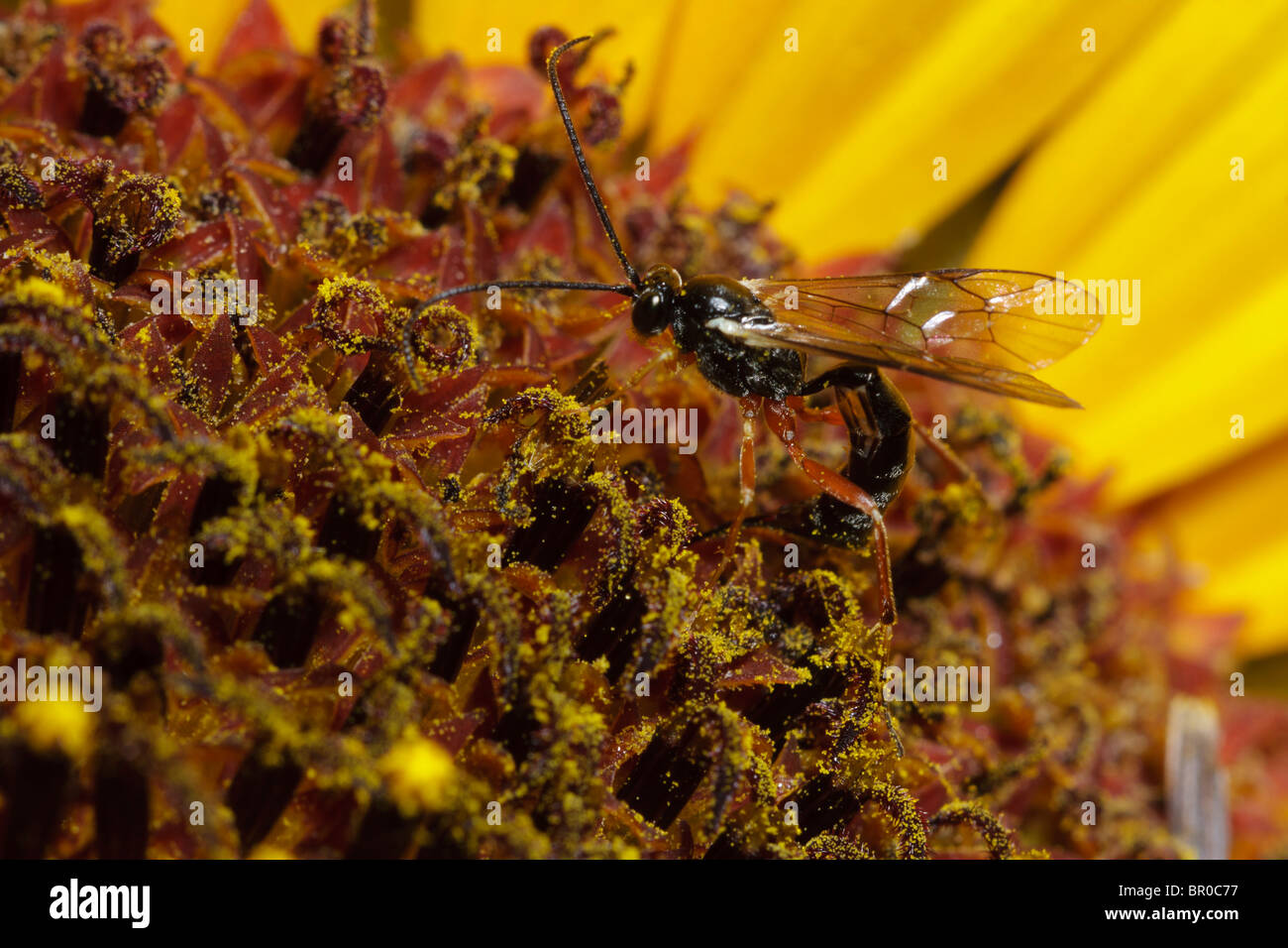 An ichneumon wasp pierces a sunflower to lay an egg in an unseen caterpillar hiding in the flower. - Stock Image