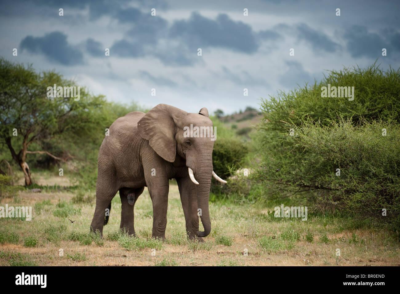 African elephant ( Loxodonta africana africana), Mashatu Game Reserve, tuli block, Botswana - Stock Image