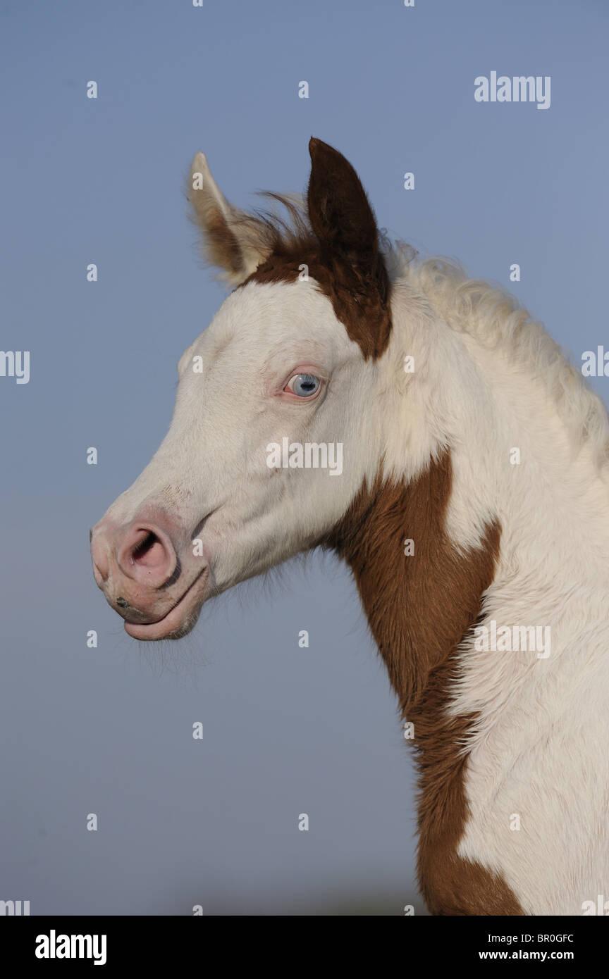 Arabian Pinto Horse (Equus ferus caballus), portrait of a foal - Stock Image