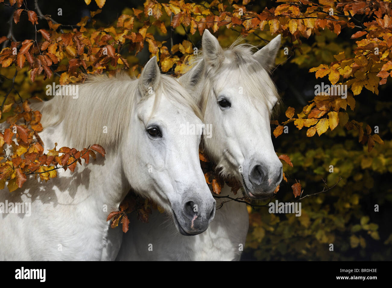 Connemara Pony (Equus ferus caballus). Portrait of two gray mares in autumn. - Stock Image