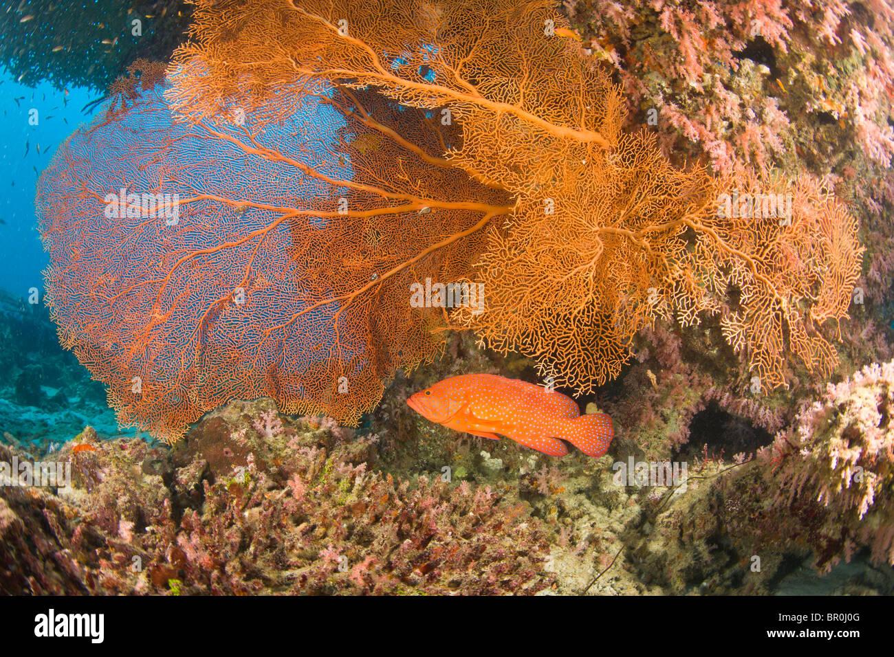 Coral Grouper (Cephalopholis miniata), scuba diving at Similan Islands Underwater Park, Thailand, SE Asia Stock Photo